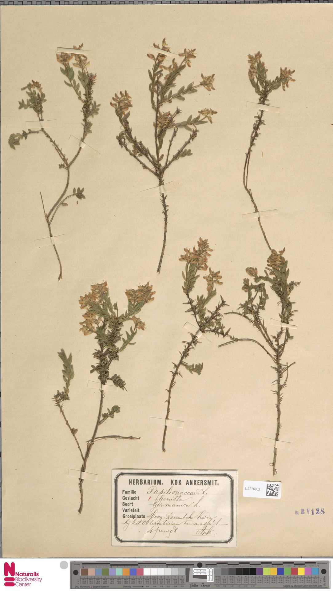L.3276902 | Genista germanica L.