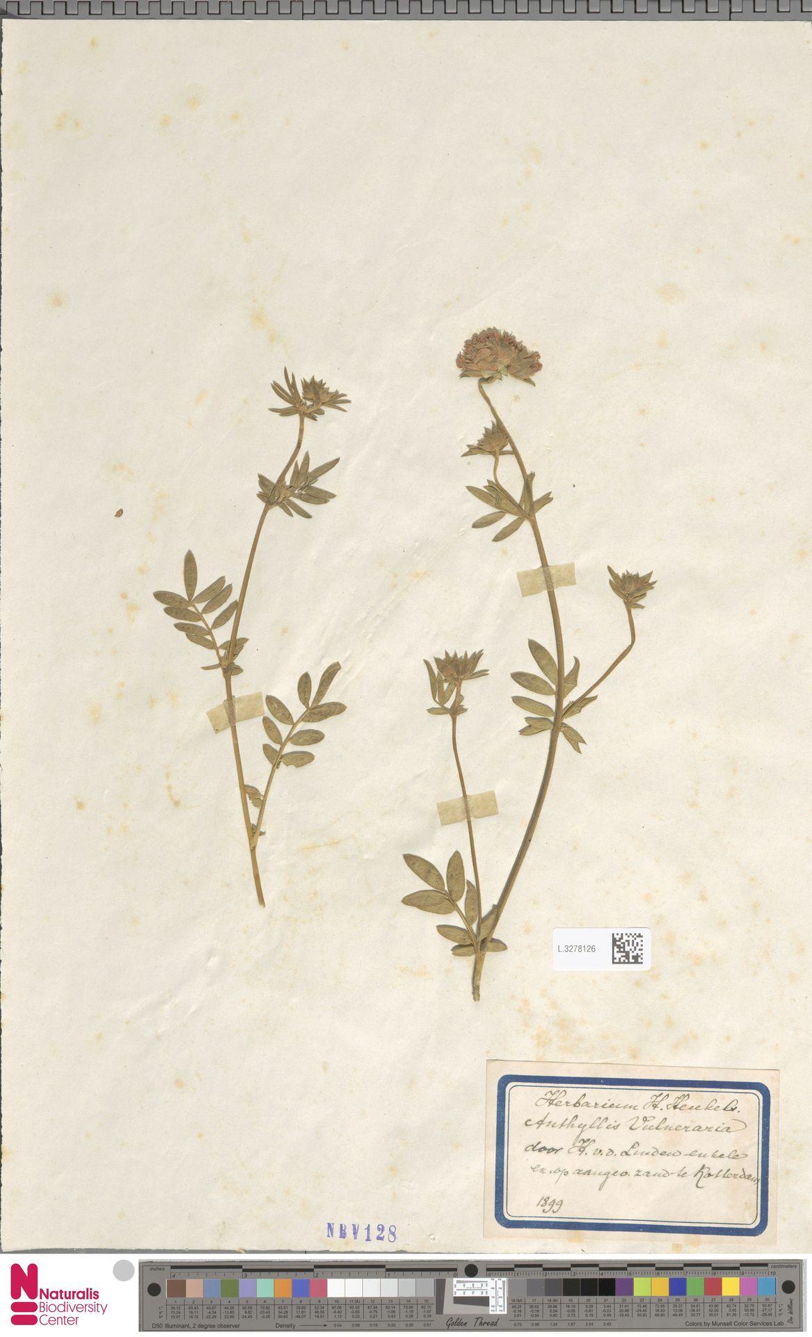 L.3278126 | Anthyllis vulneraria L.