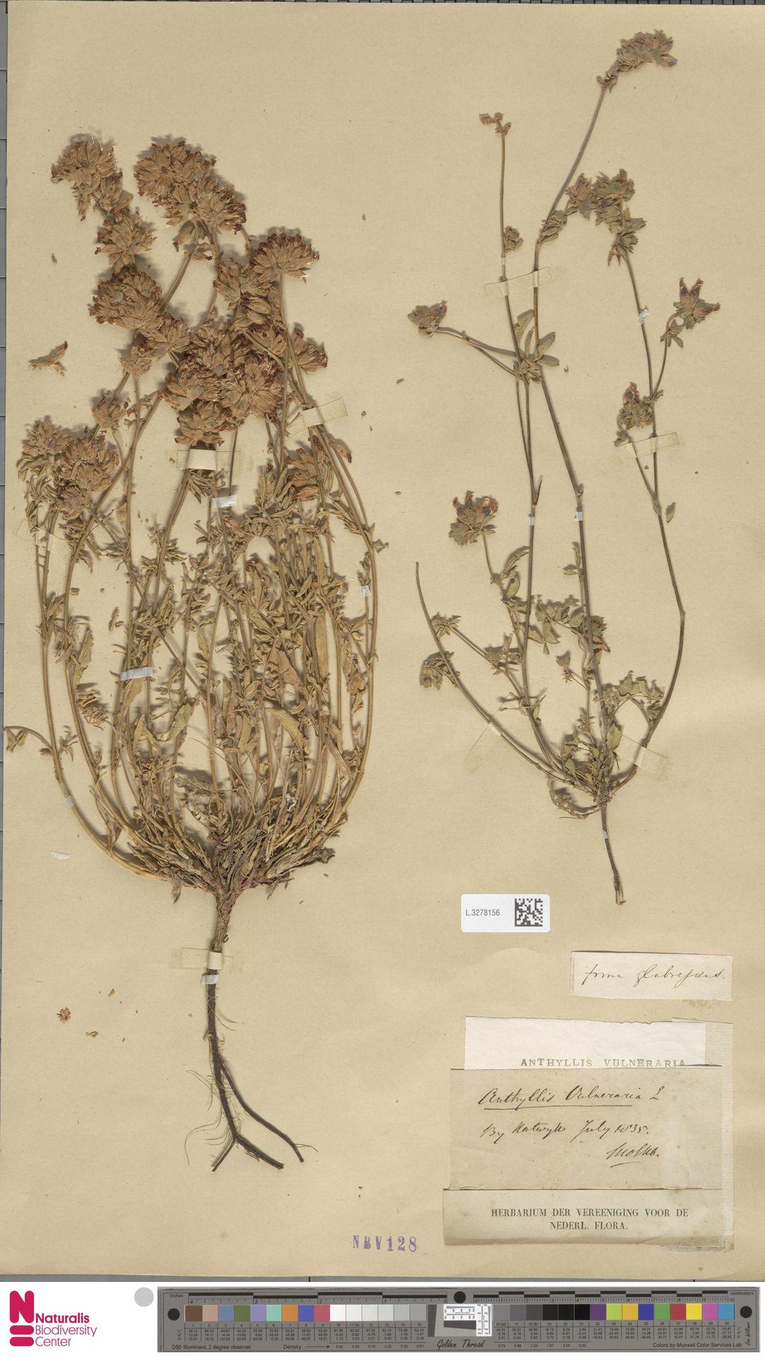 L.3278156   Anthyllis vulneraria L.