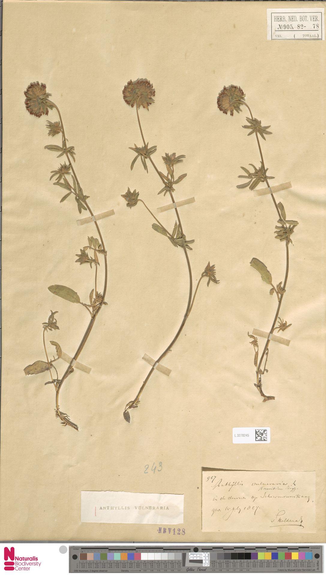 L.3278245   Anthyllis vulneraria L.