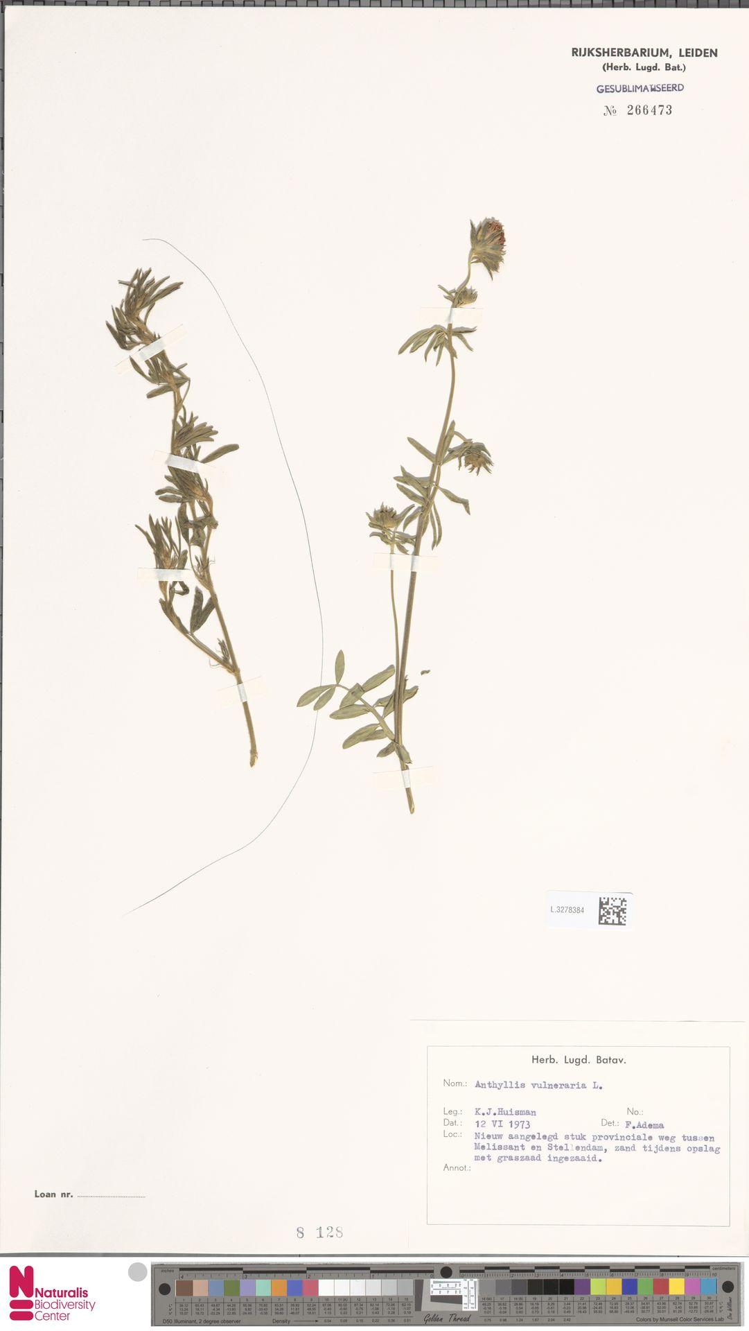 L.3278384   Anthyllis vulneraria L.