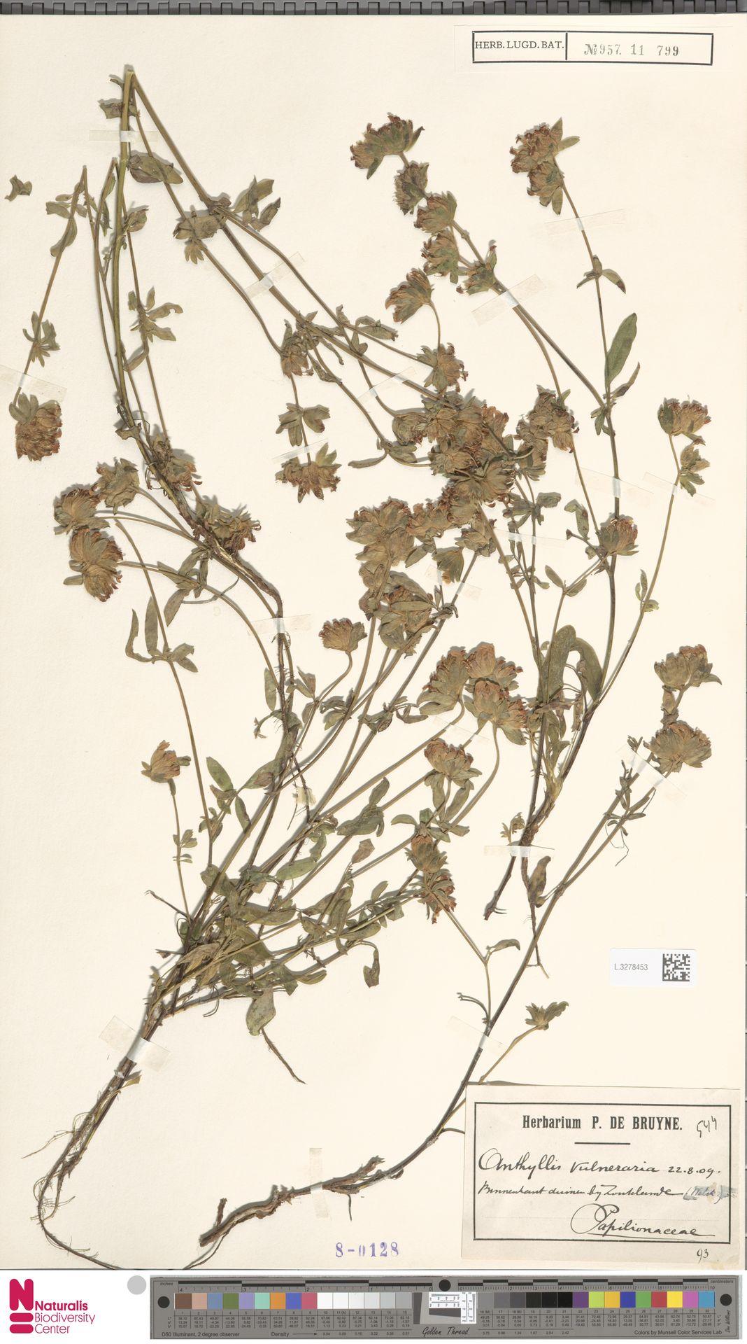 L.3278453   Anthyllis vulneraria L.