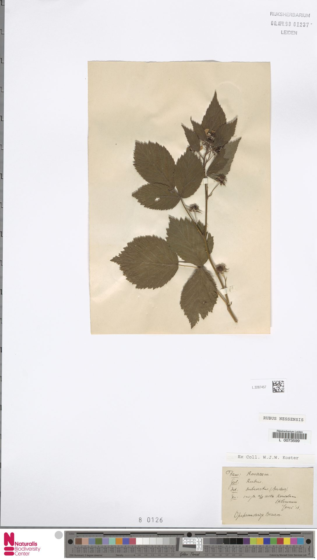 L.3287457 | Rubus nessensis Hall