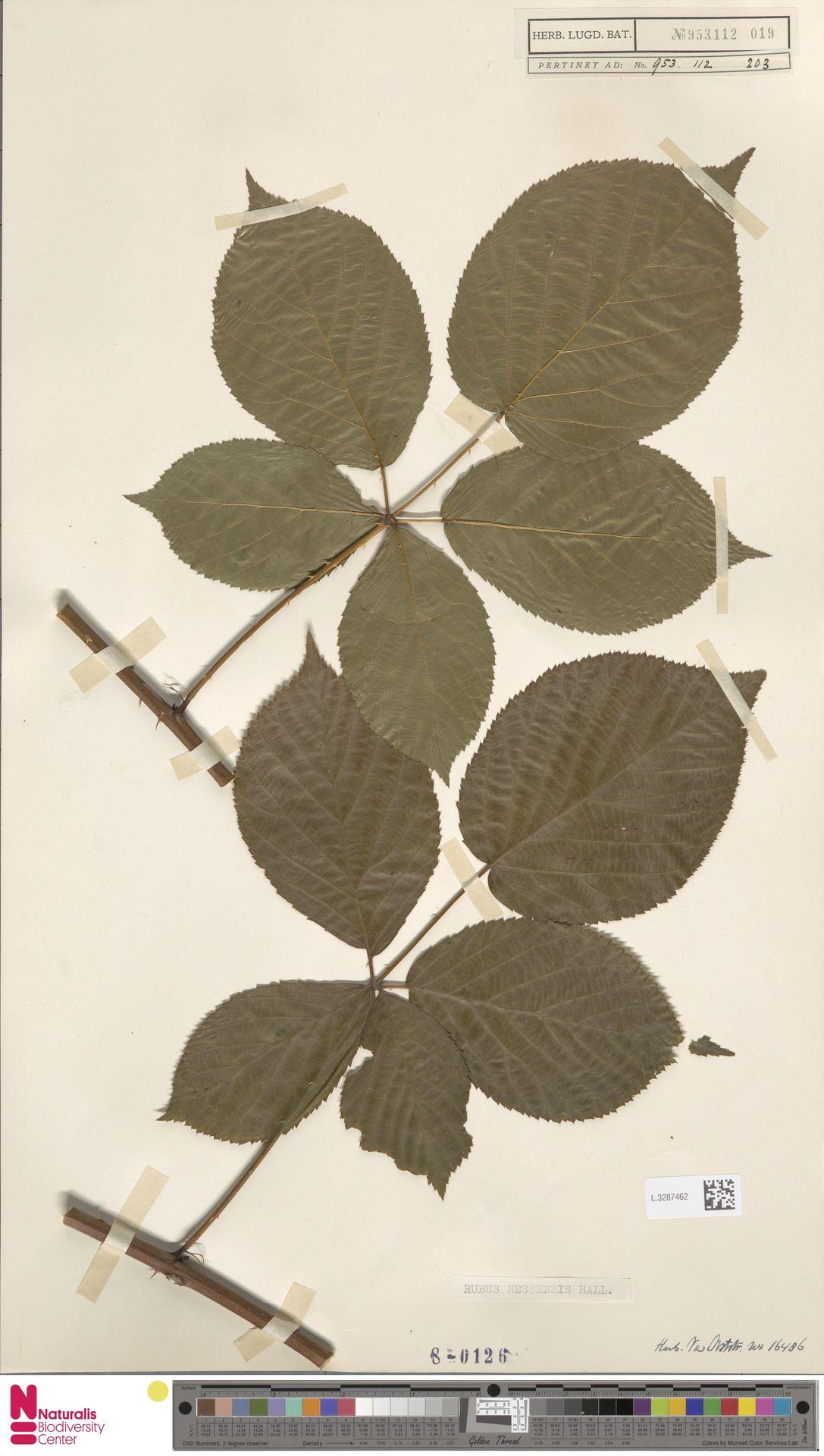 L.3287462 | Rubus nessensis Hall