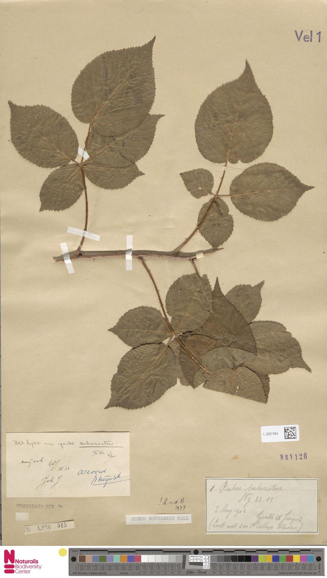 L.3287464 | Rubus nessensis Hall