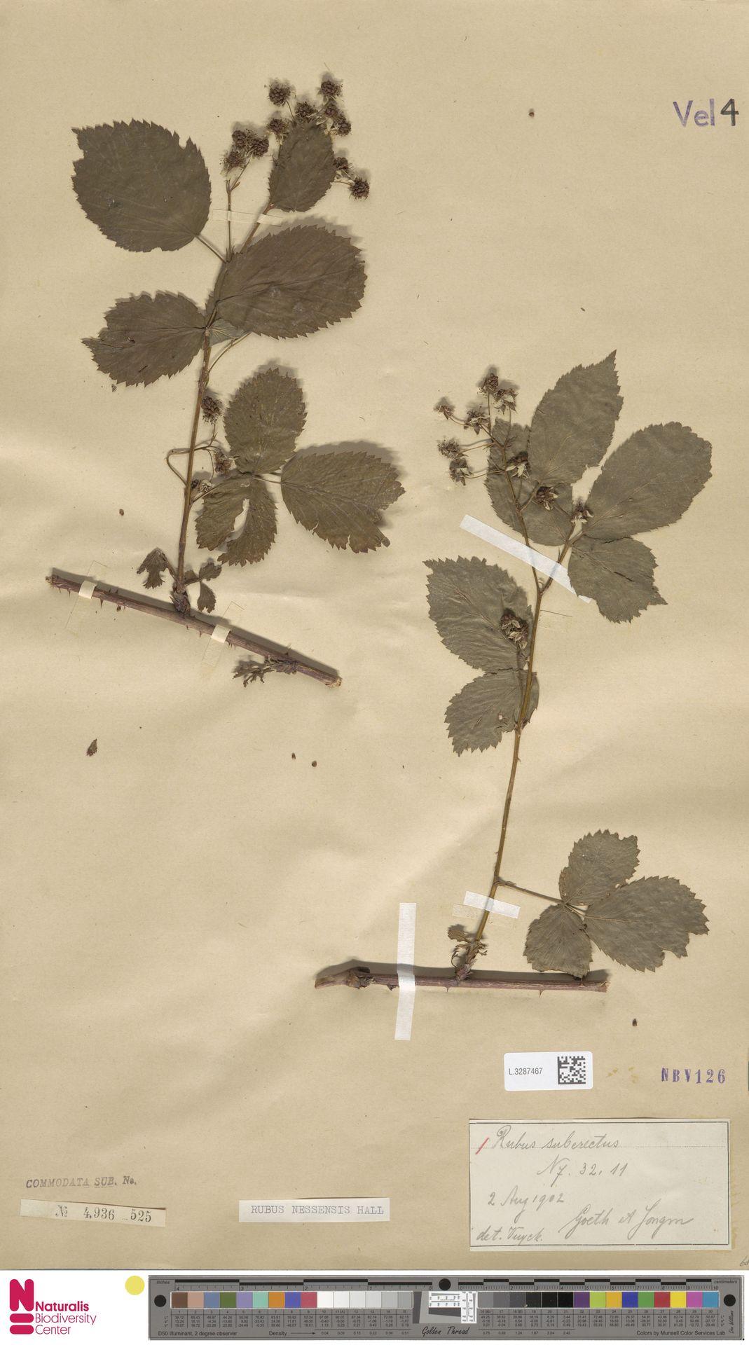 L.3287467 | Rubus nessensis Hall