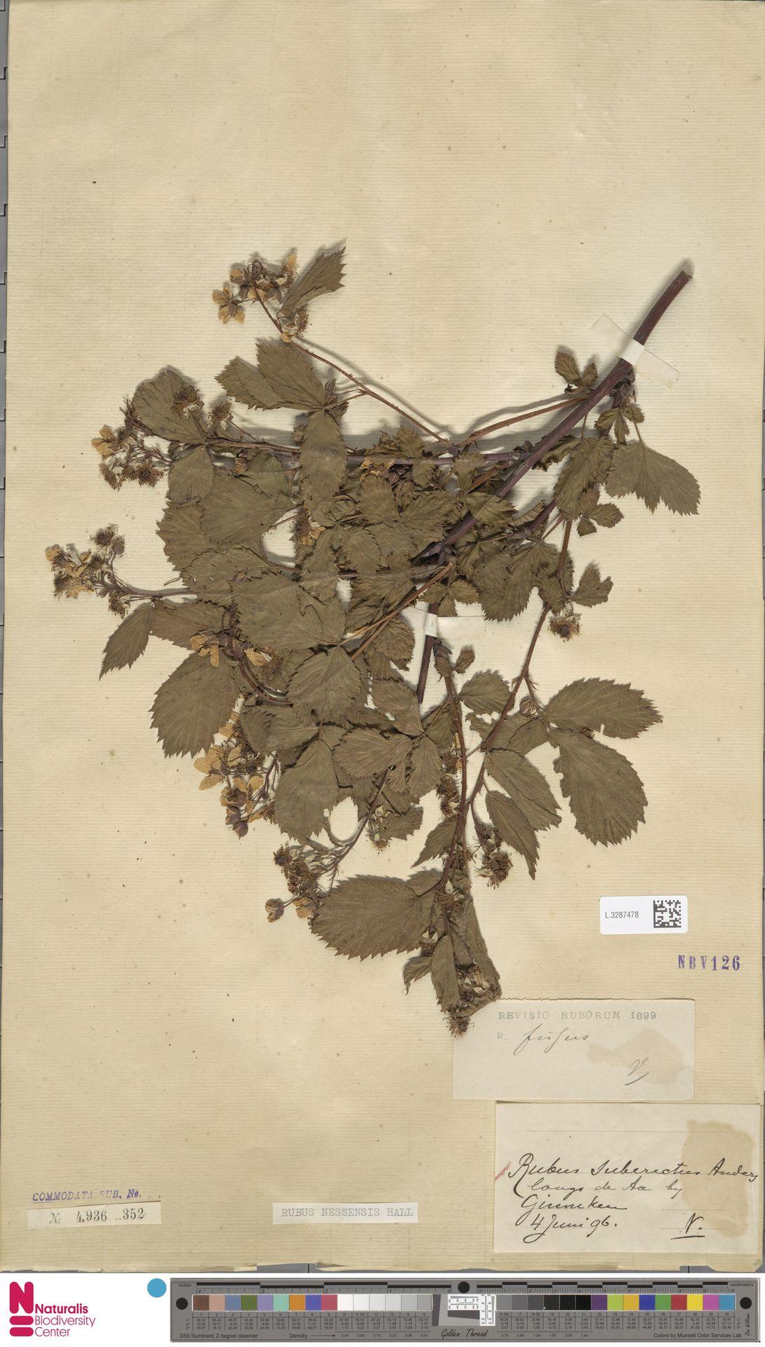 L.3287478 | Rubus nessensis Hall