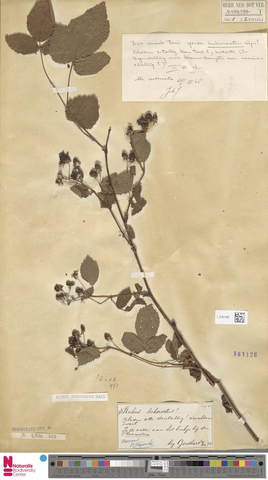 L.3287486   Rubus nessensis Hall