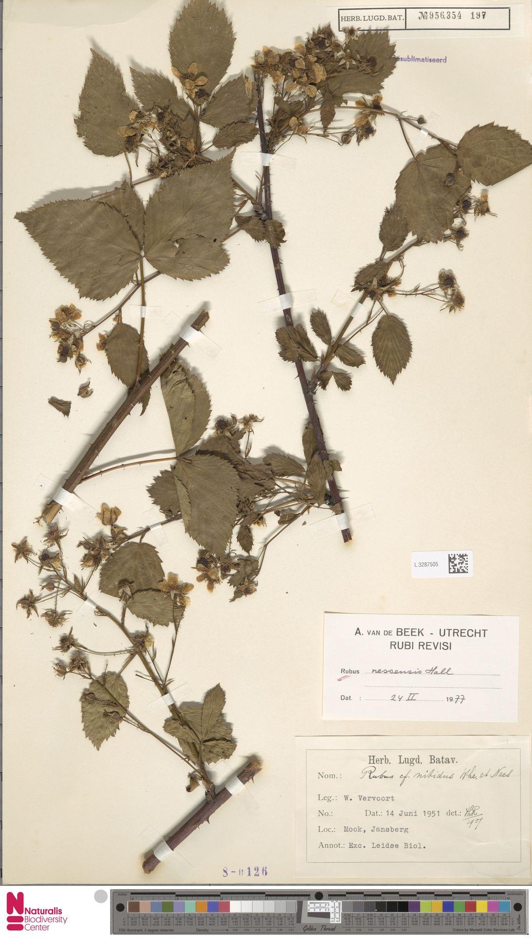 L.3287505 | Rubus nessensis Hall