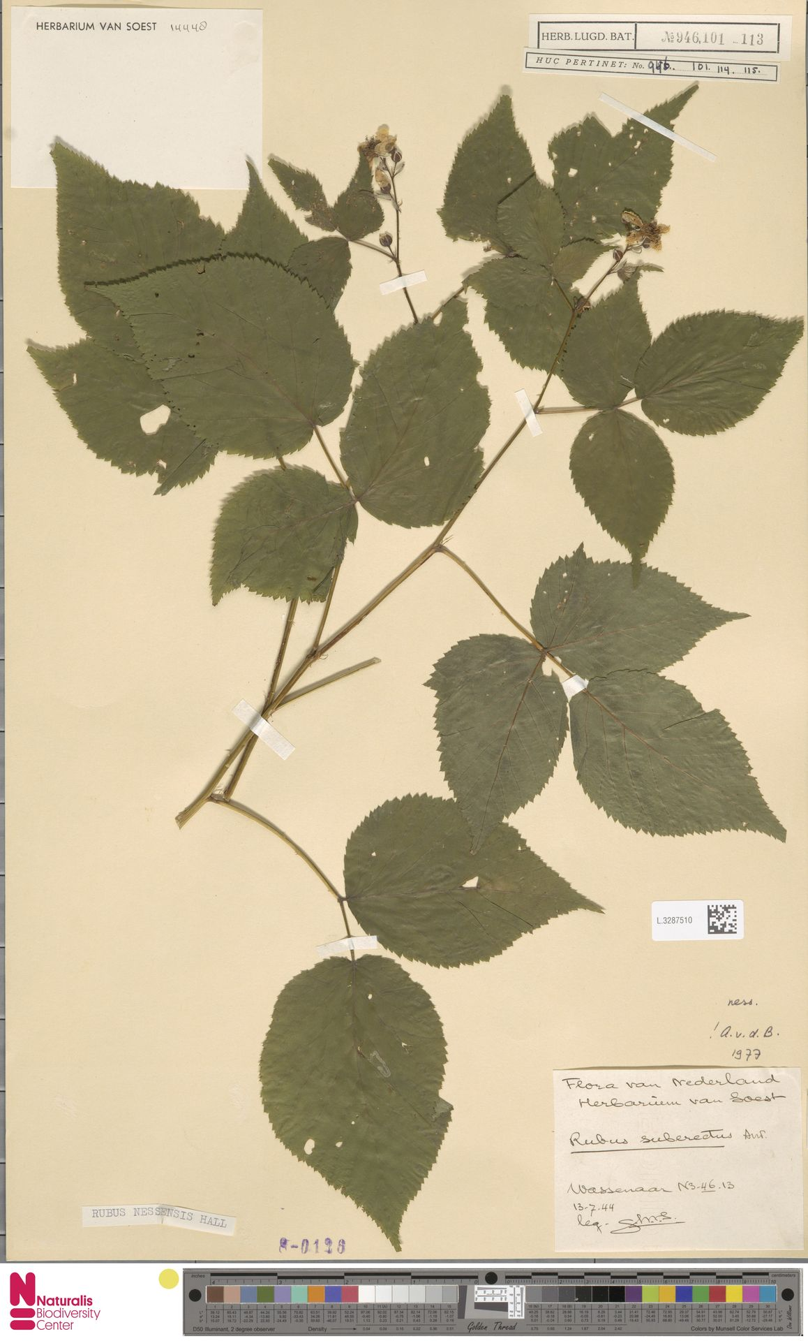 L.3287510 | Rubus nessensis Hall