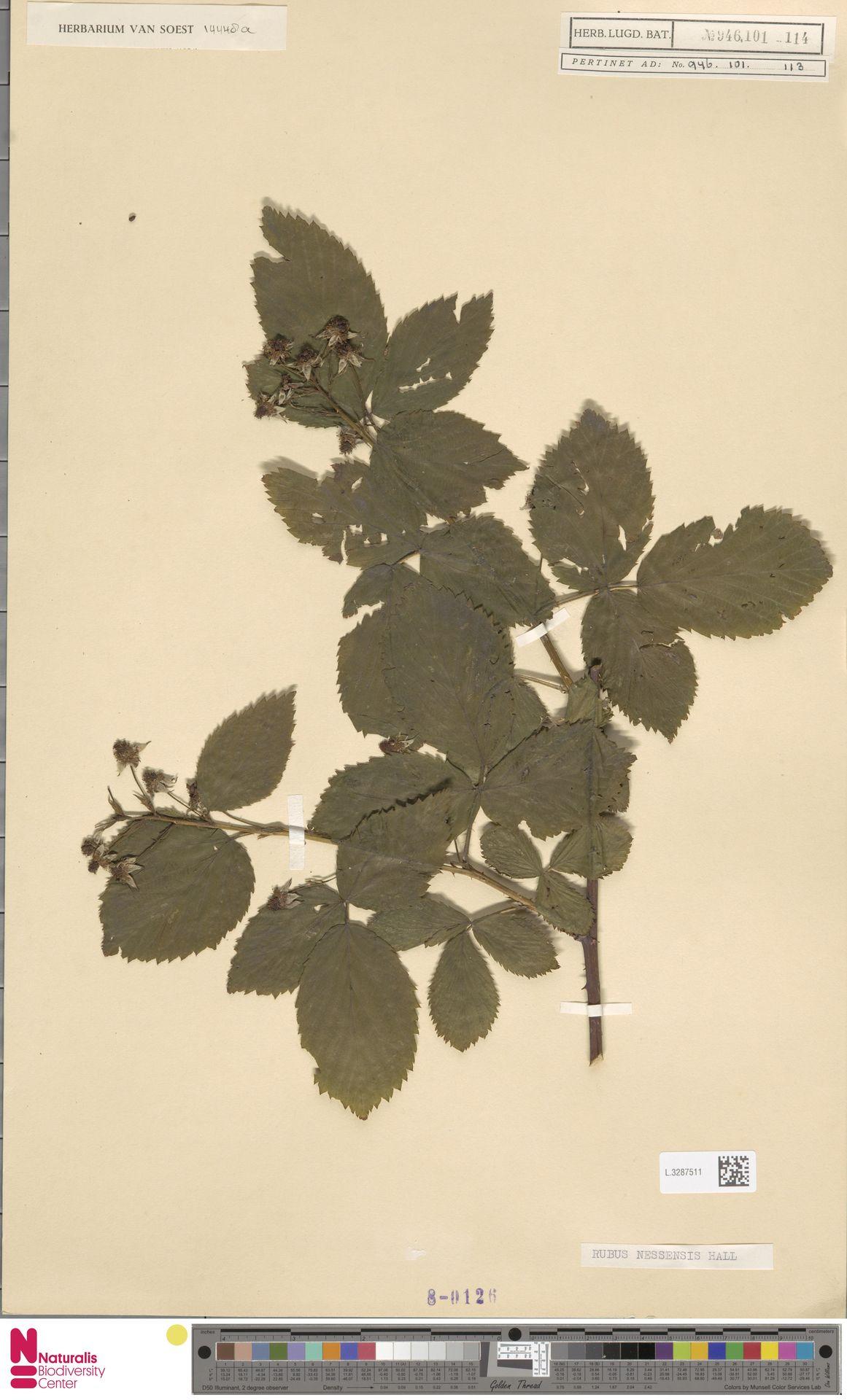 L.3287511 | Rubus nessensis Hall