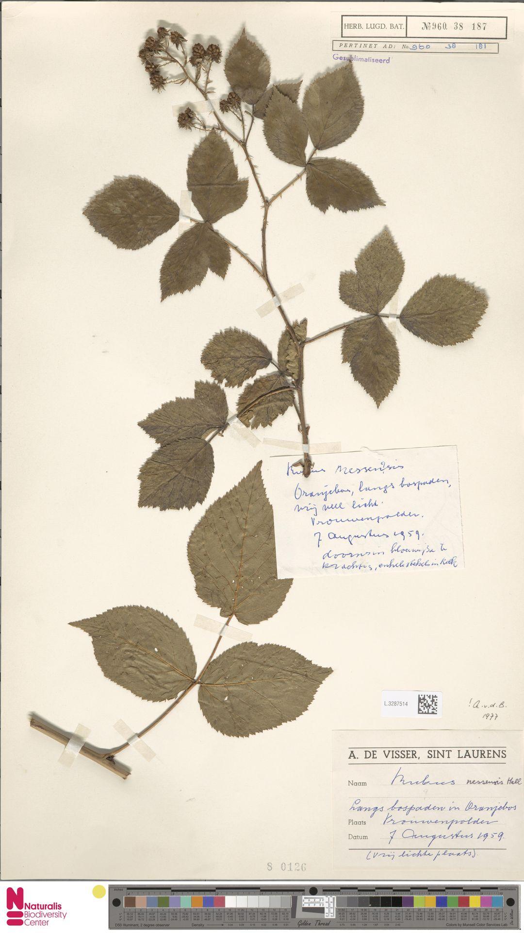 L.3287514 | Rubus nessensis Hall