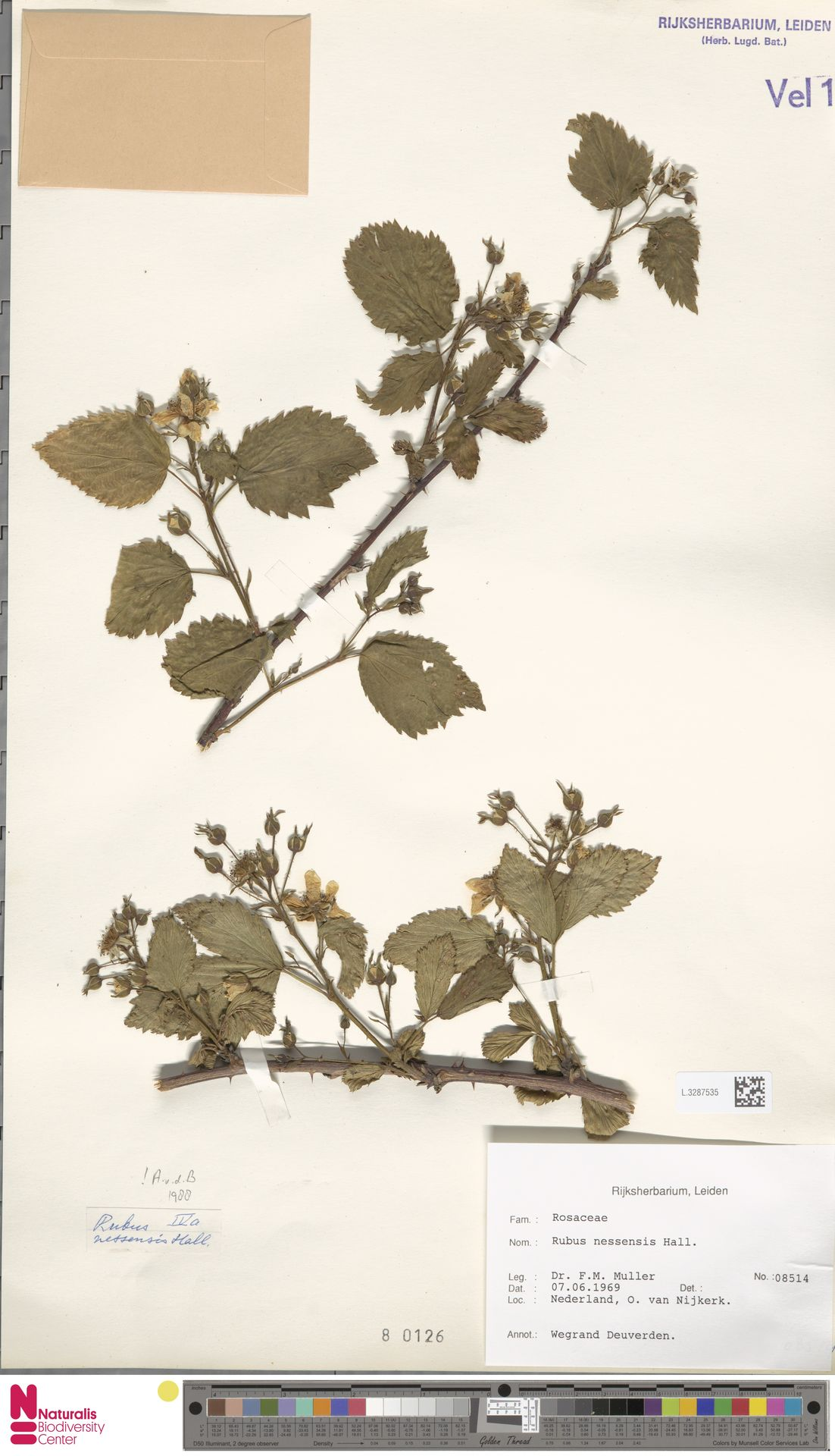 L.3287535 | Rubus nessensis Hall