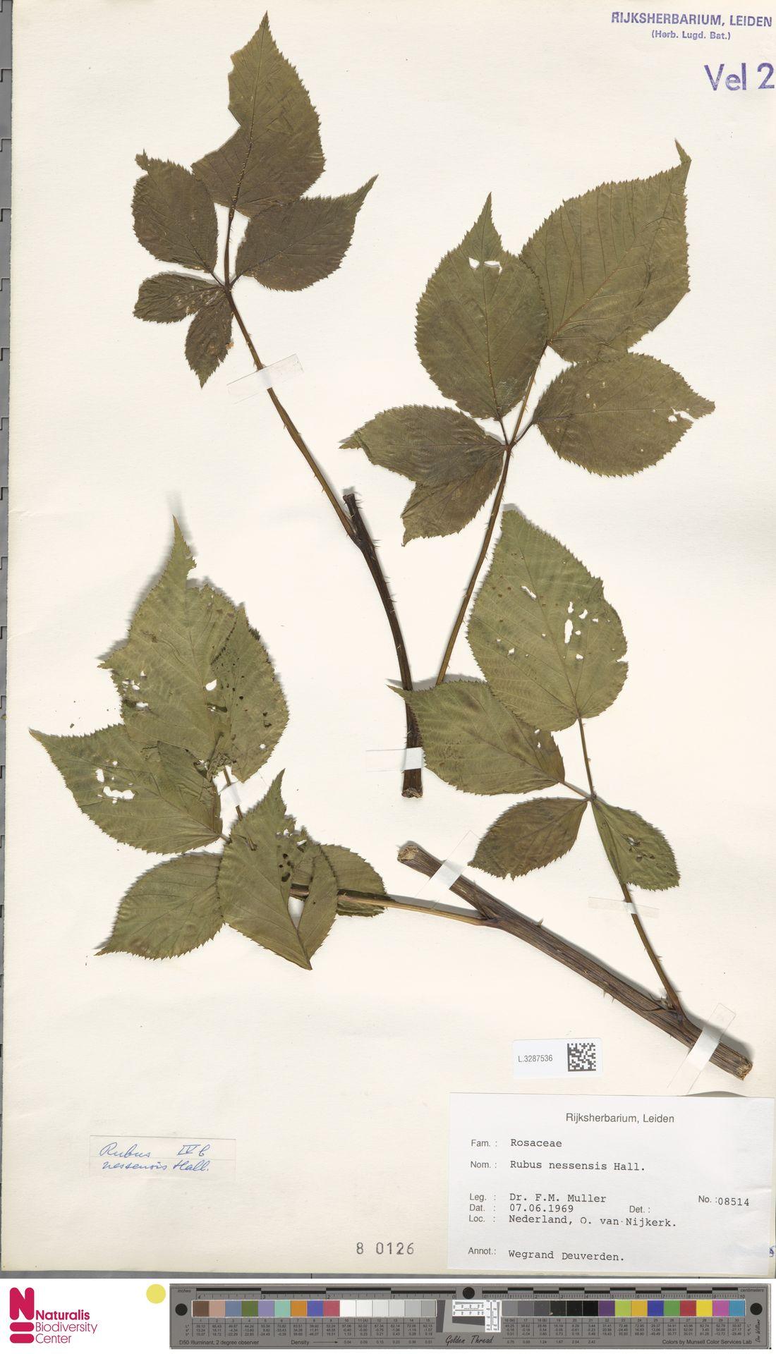 L.3287536 | Rubus nessensis Hall