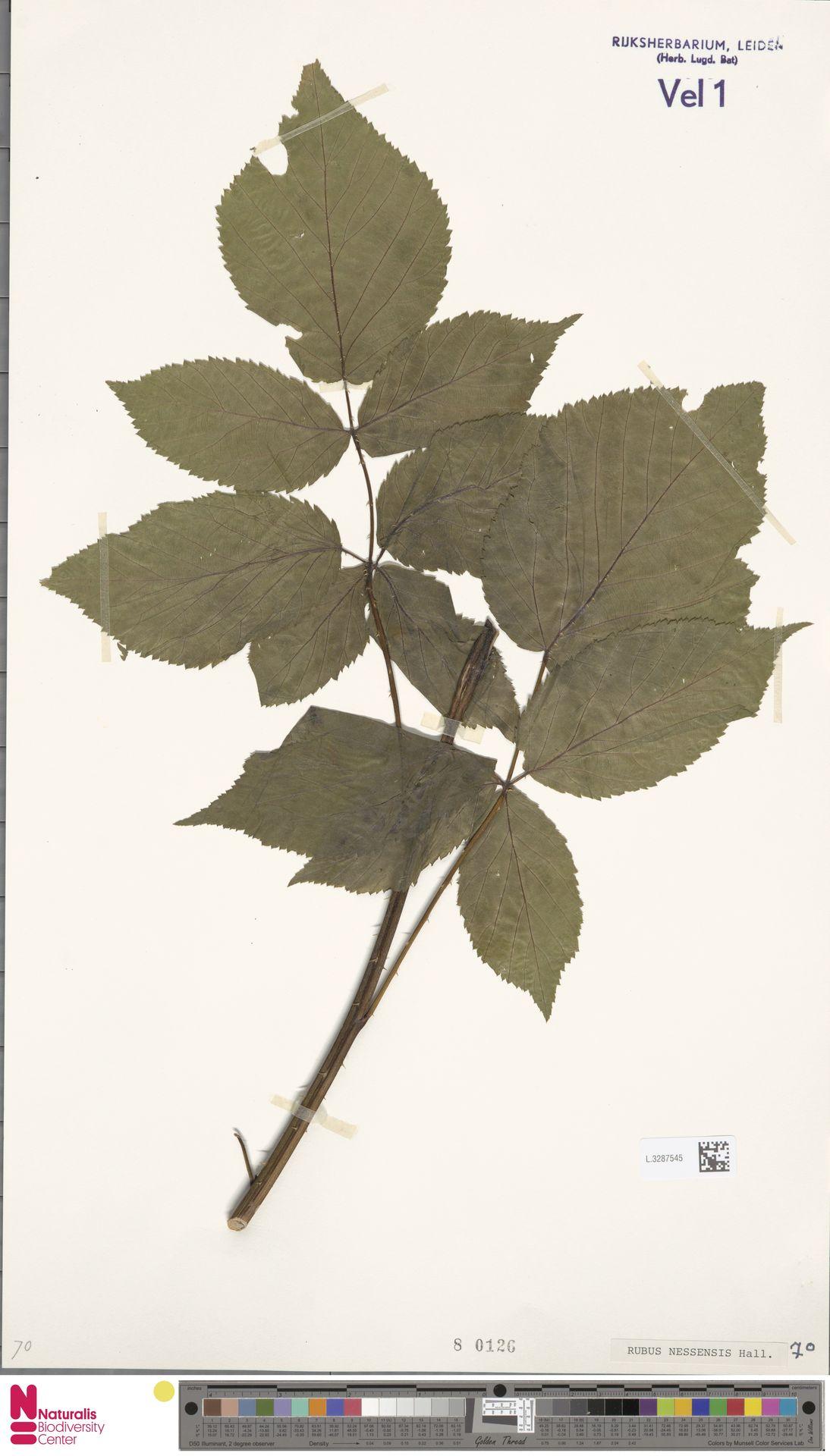 L.3287545 | Rubus nessensis Hall
