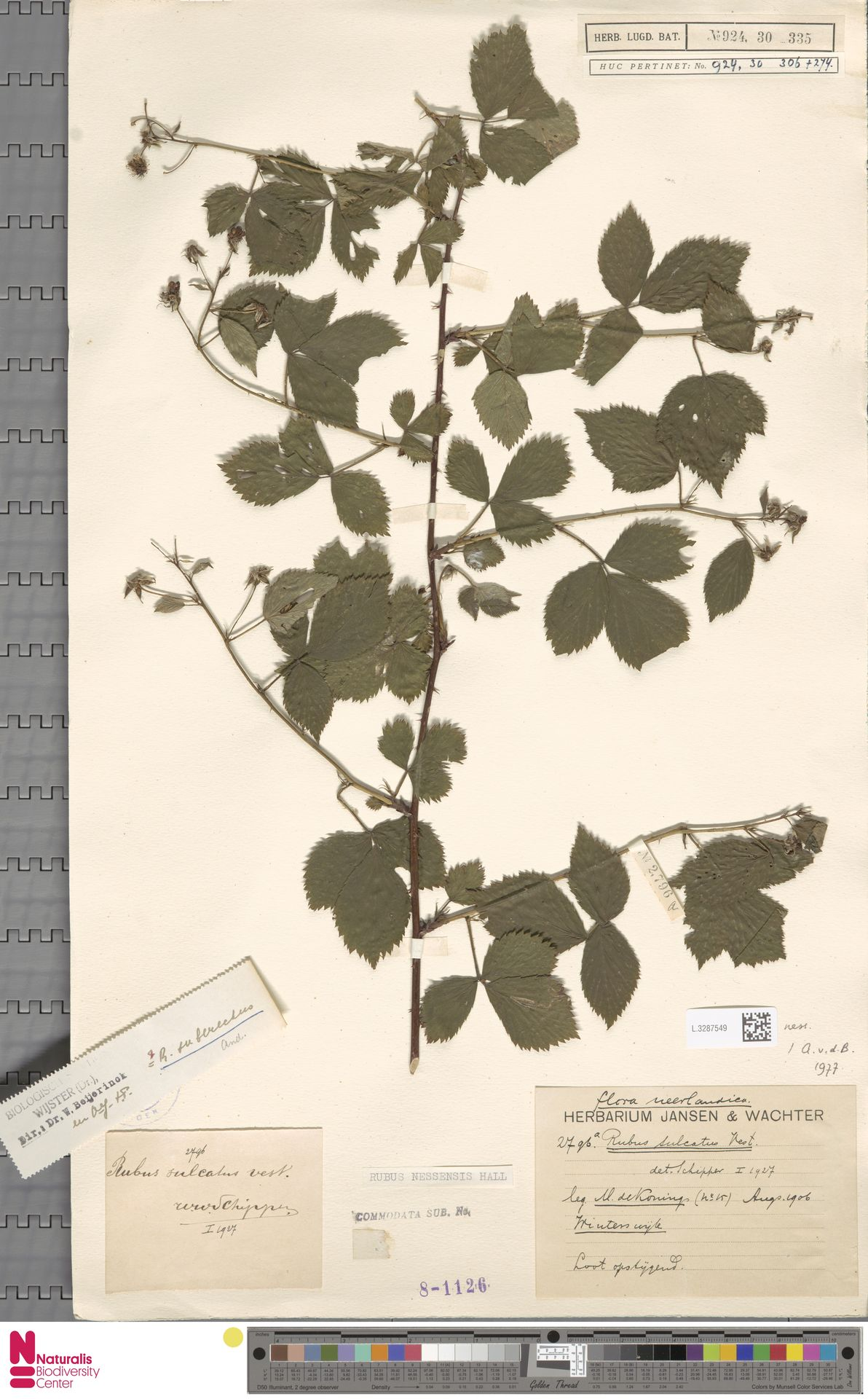 L.3287549   Rubus nessensis Hall