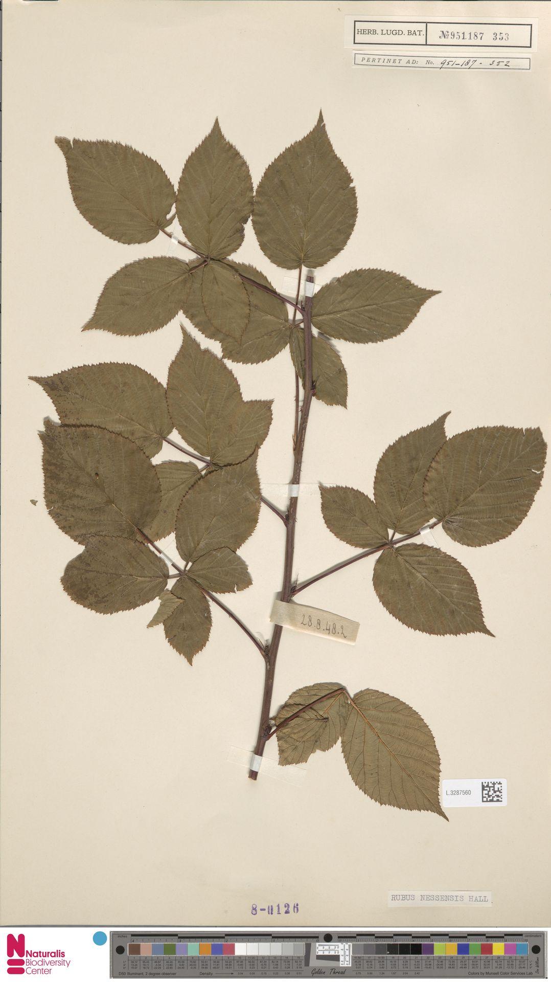 L.3287560 | Rubus nessensis Hall