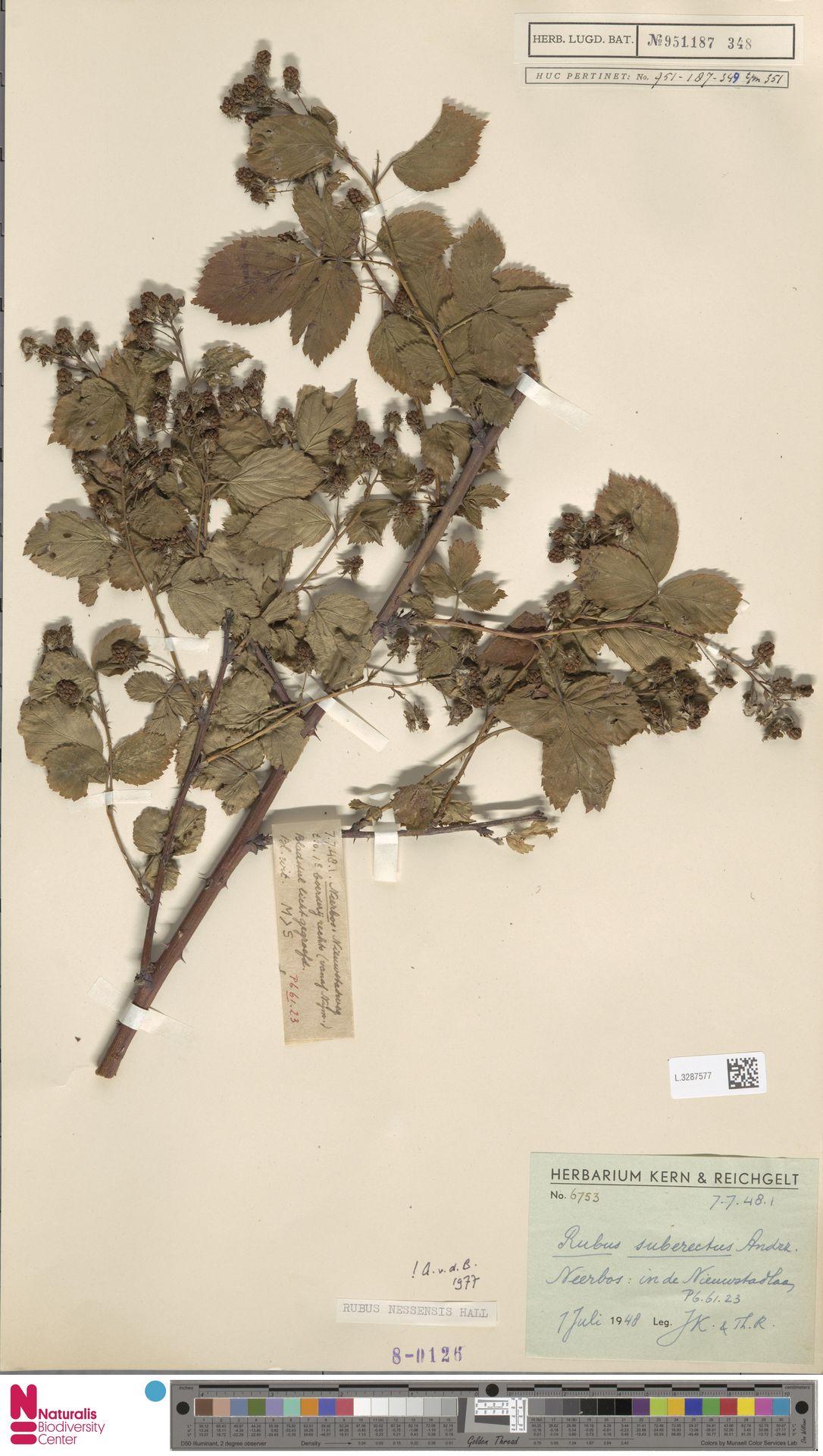 L.3287577 | Rubus nessensis Hall