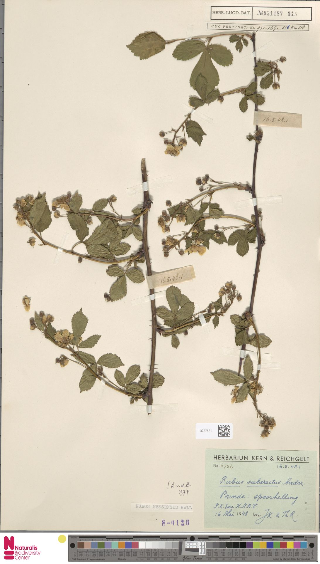 L.3287581 | Rubus nessensis Hall