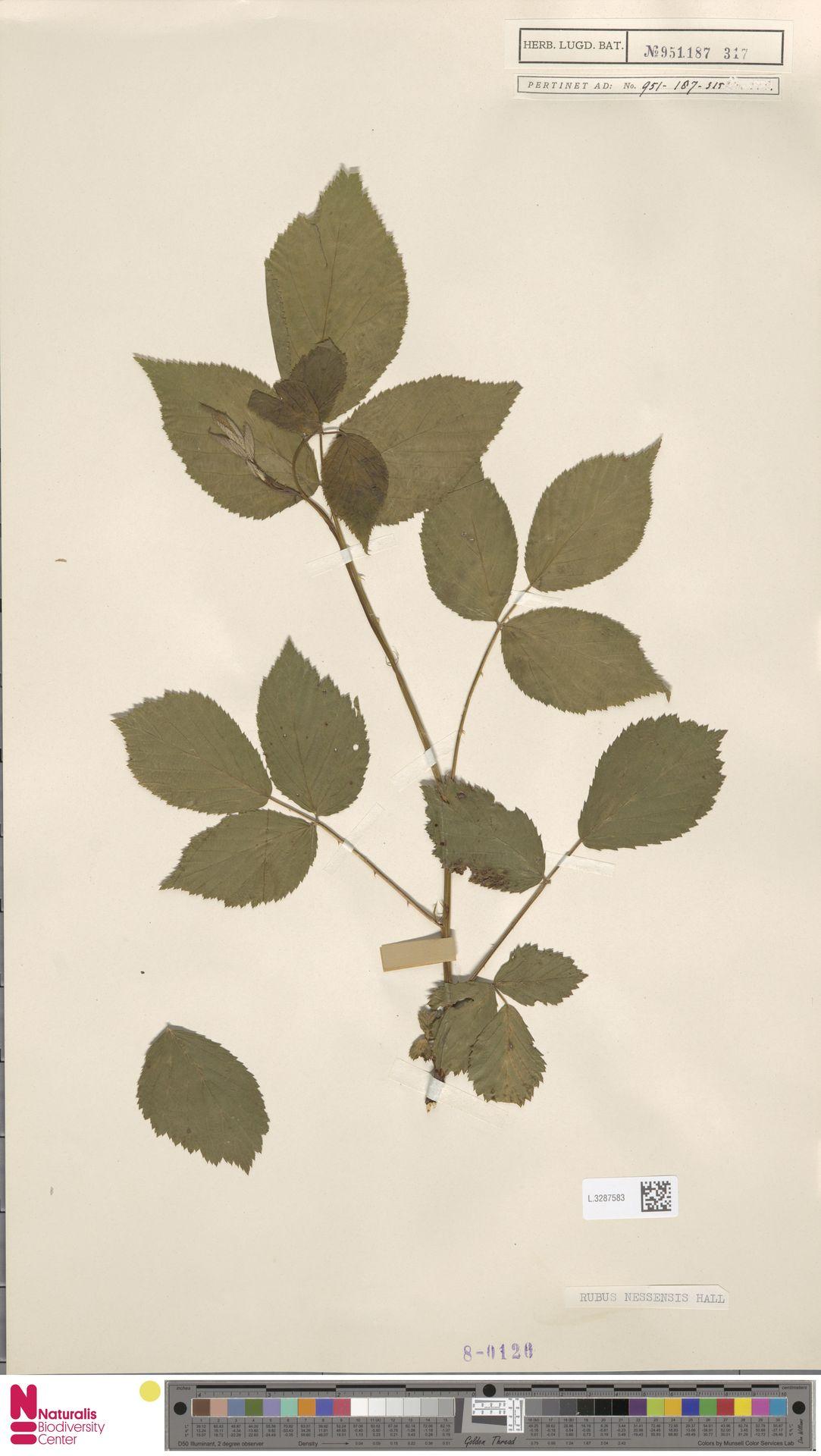 L.3287583   Rubus nessensis Hall