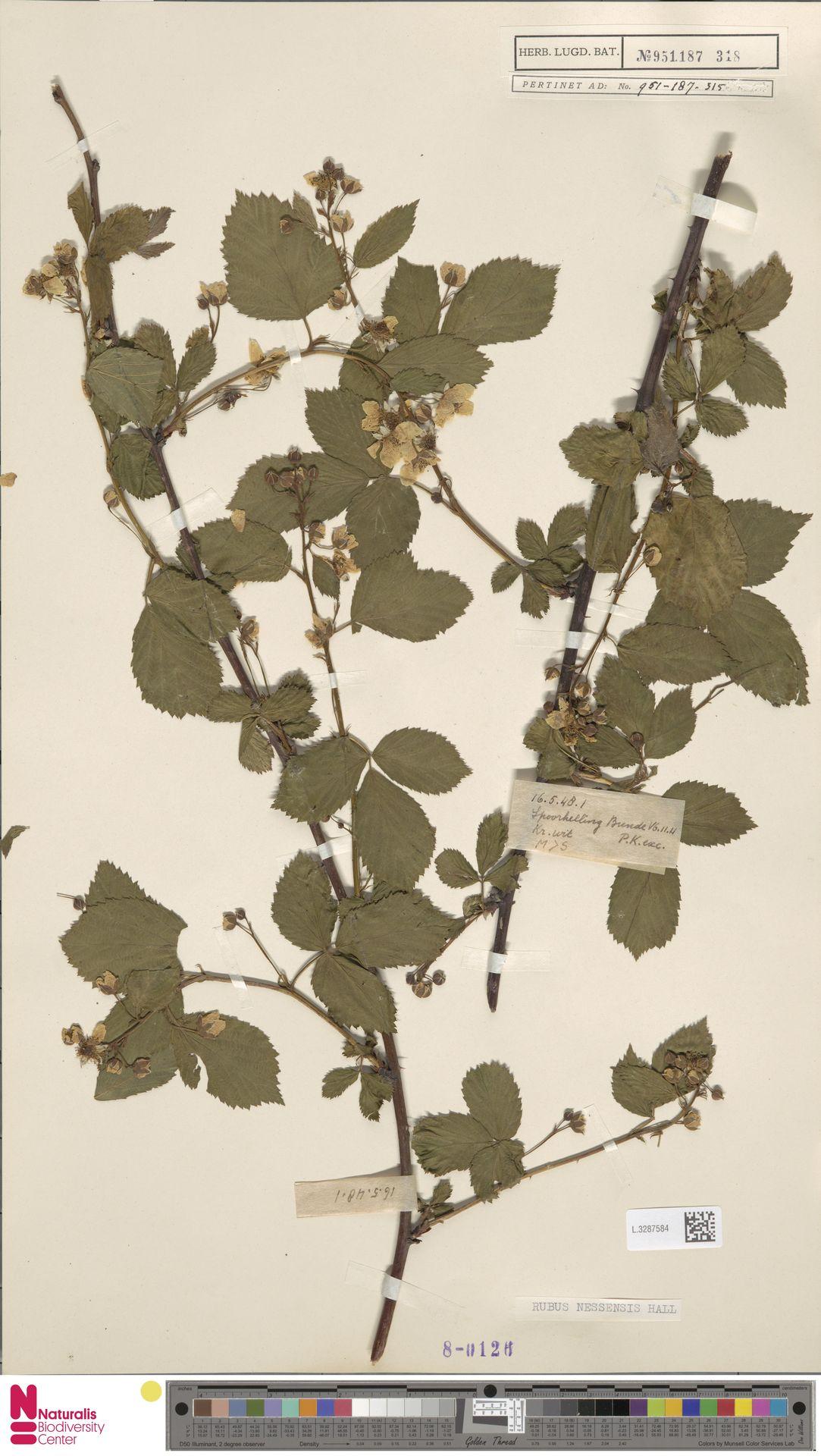 L.3287584   Rubus nessensis Hall