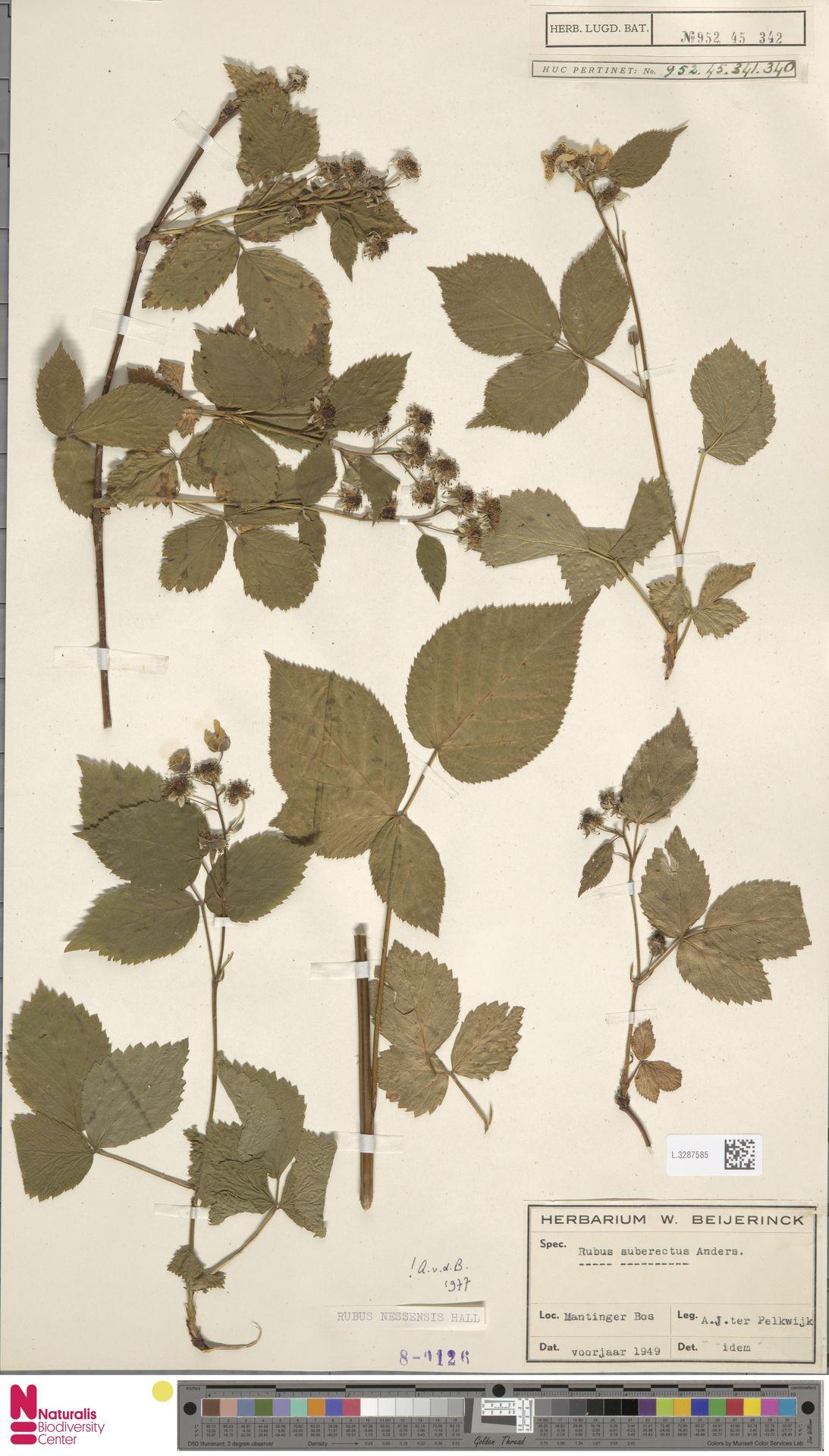 L.3287585 | Rubus nessensis Hall