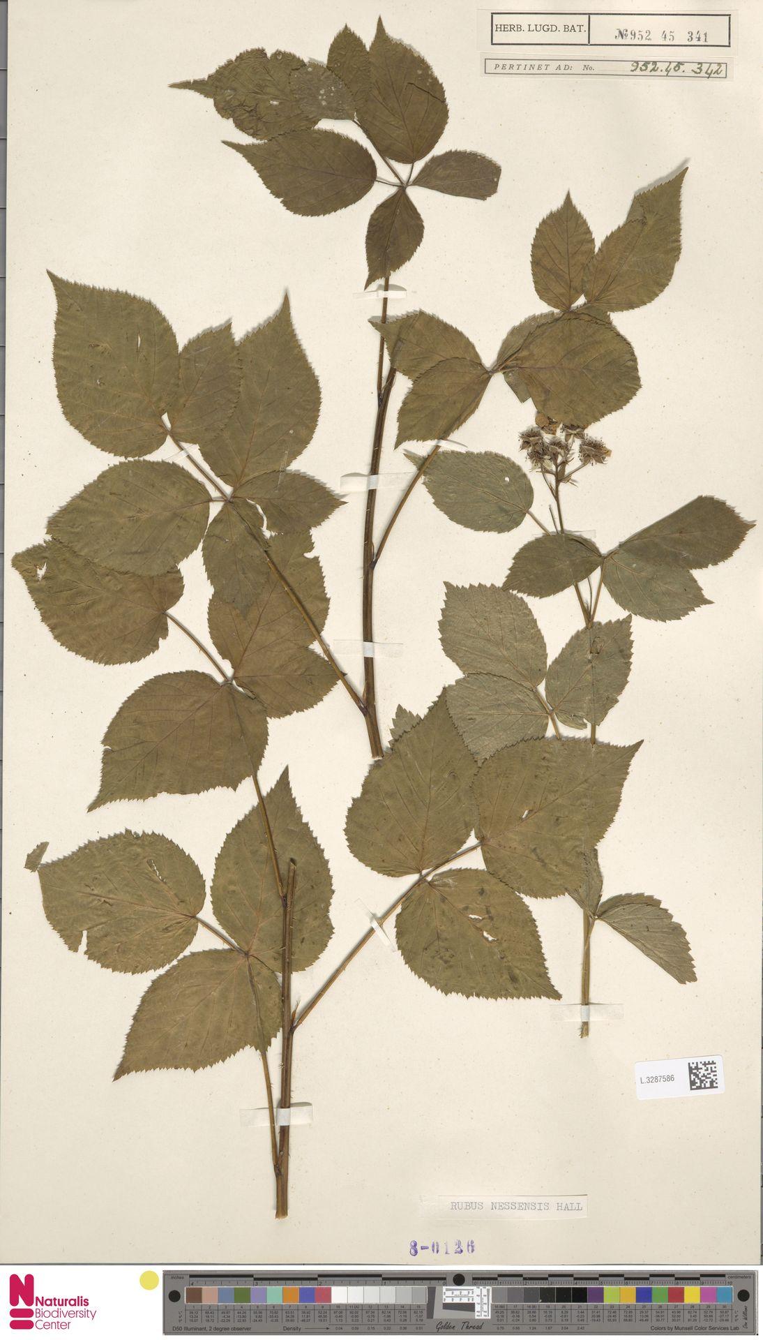 L.3287586 | Rubus nessensis Hall