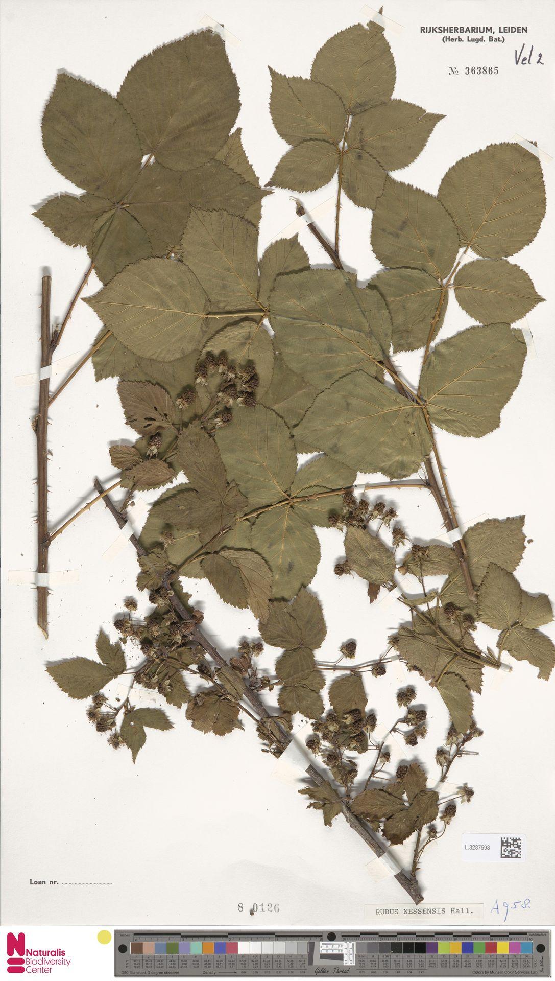 L.3287598 | Rubus nessensis Hall