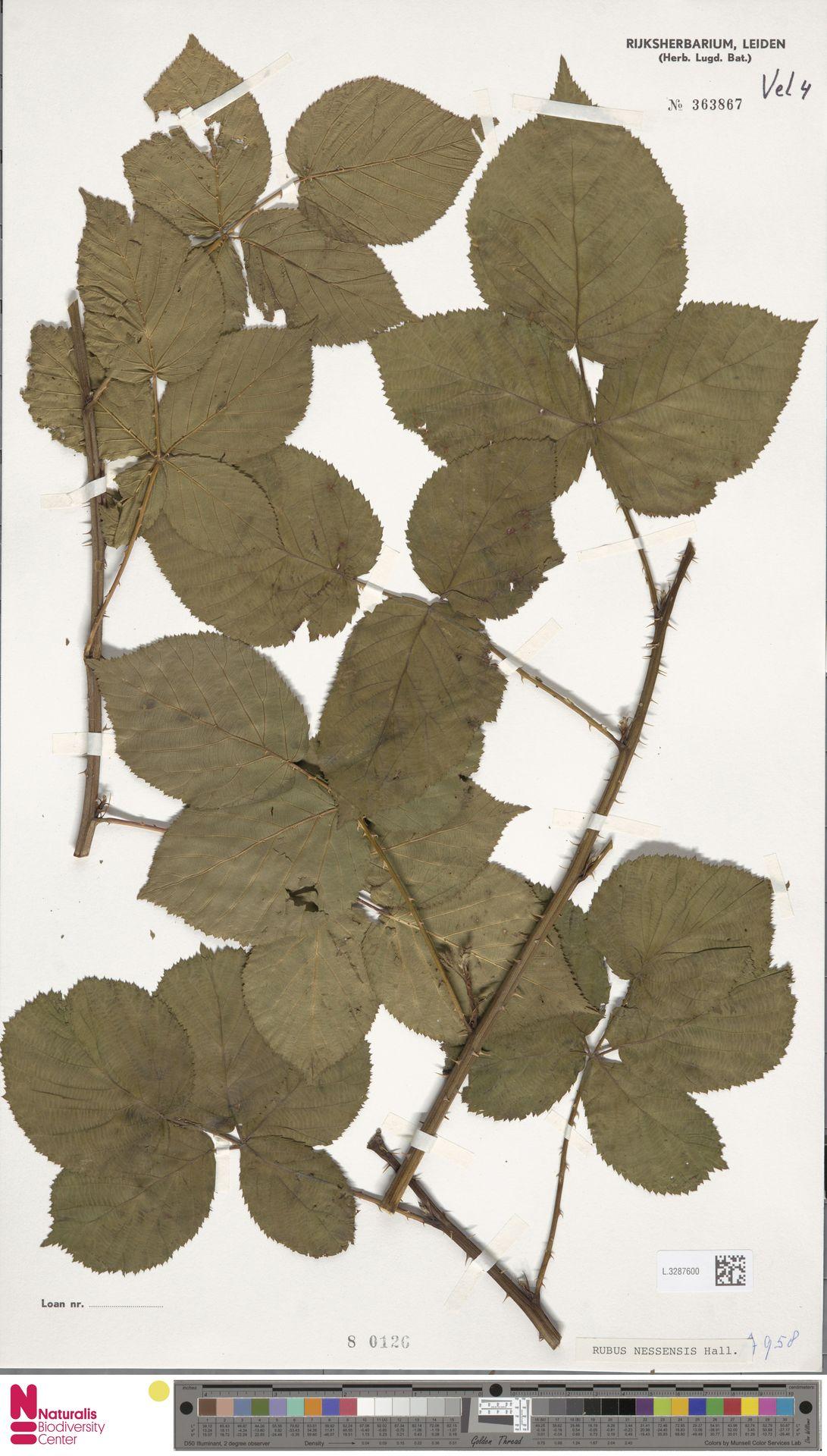 L.3287600   Rubus nessensis Hall