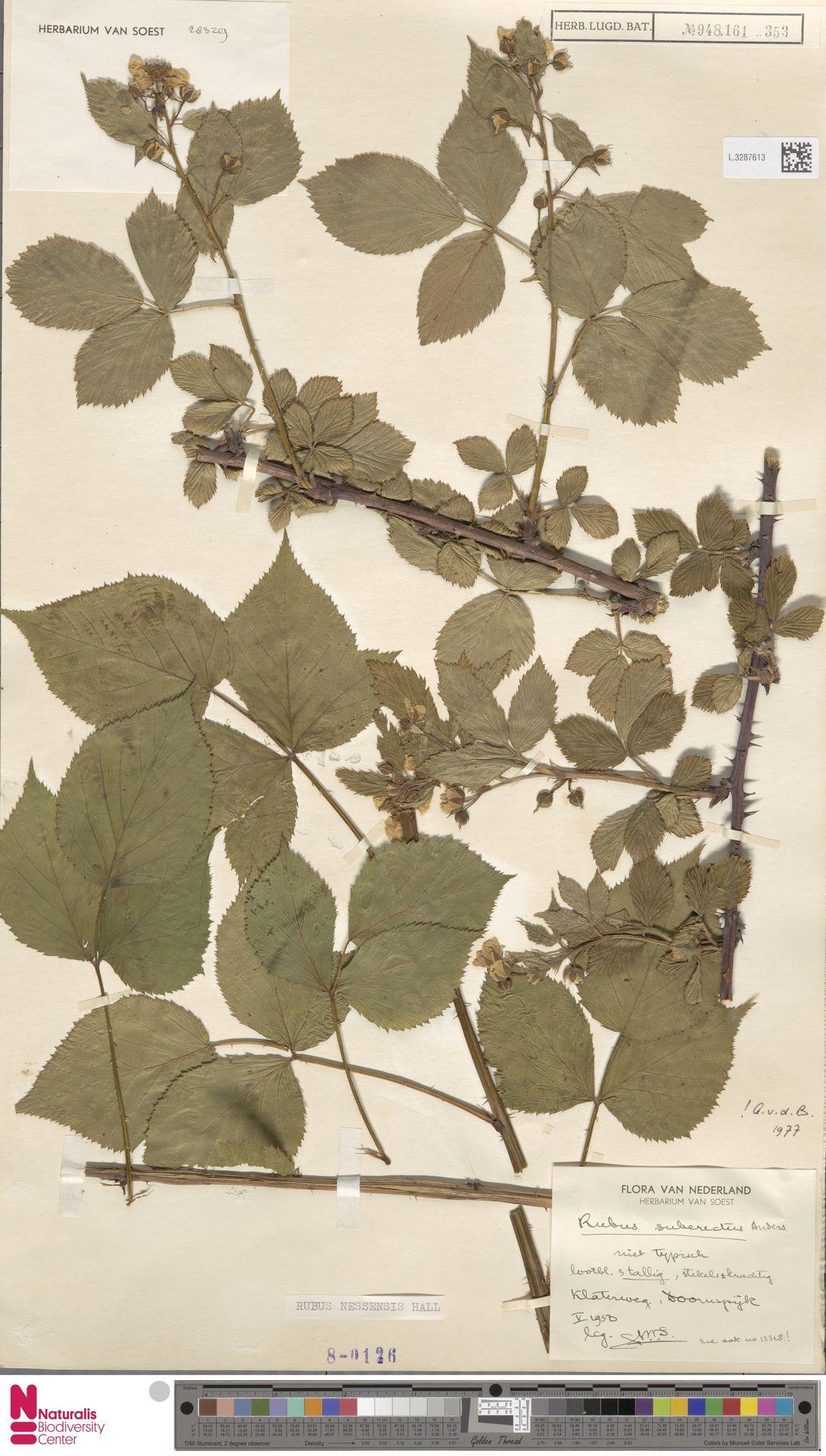 L.3287613 | Rubus nessensis Hall