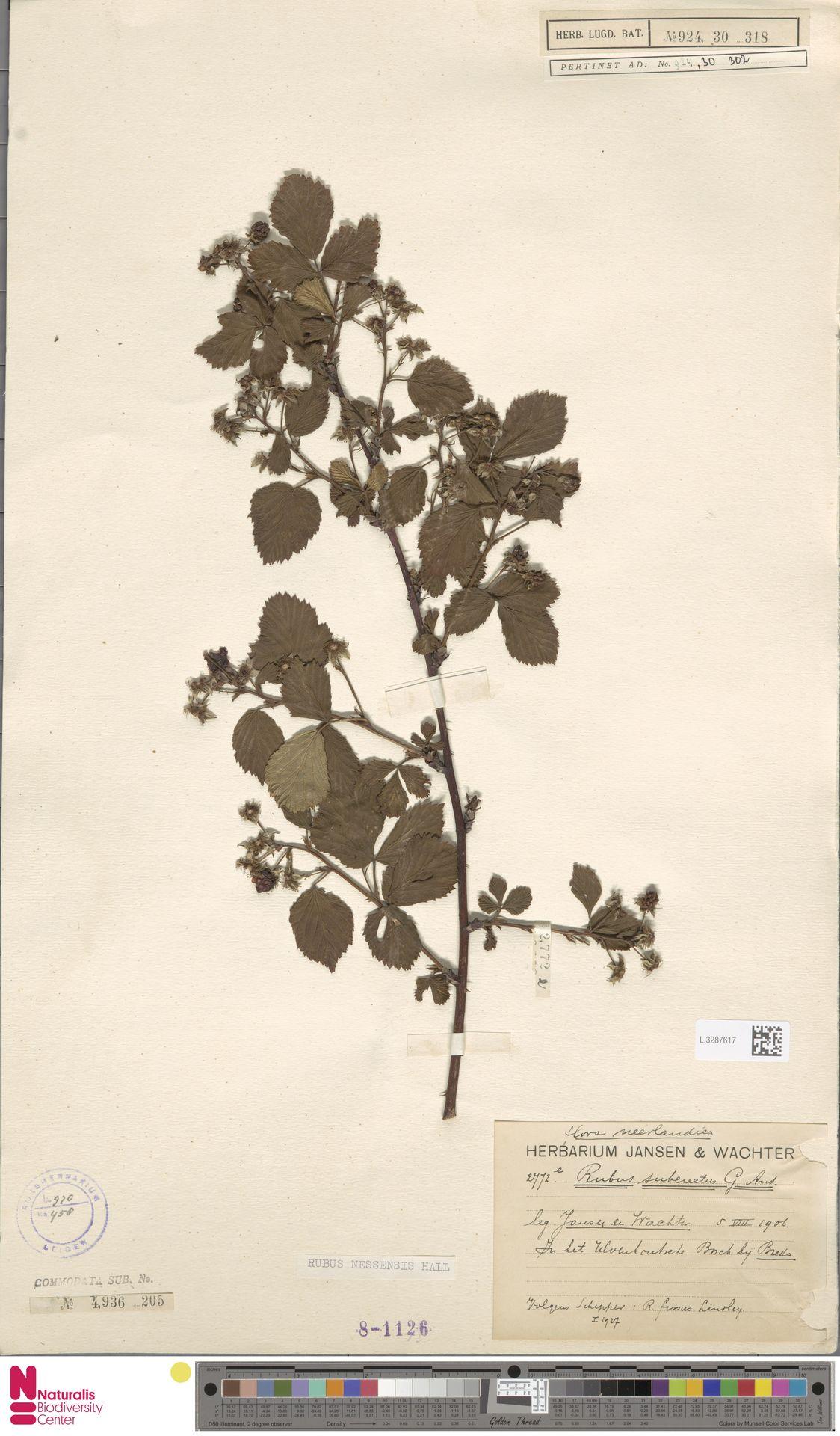 L.3287617 | Rubus nessensis Hall
