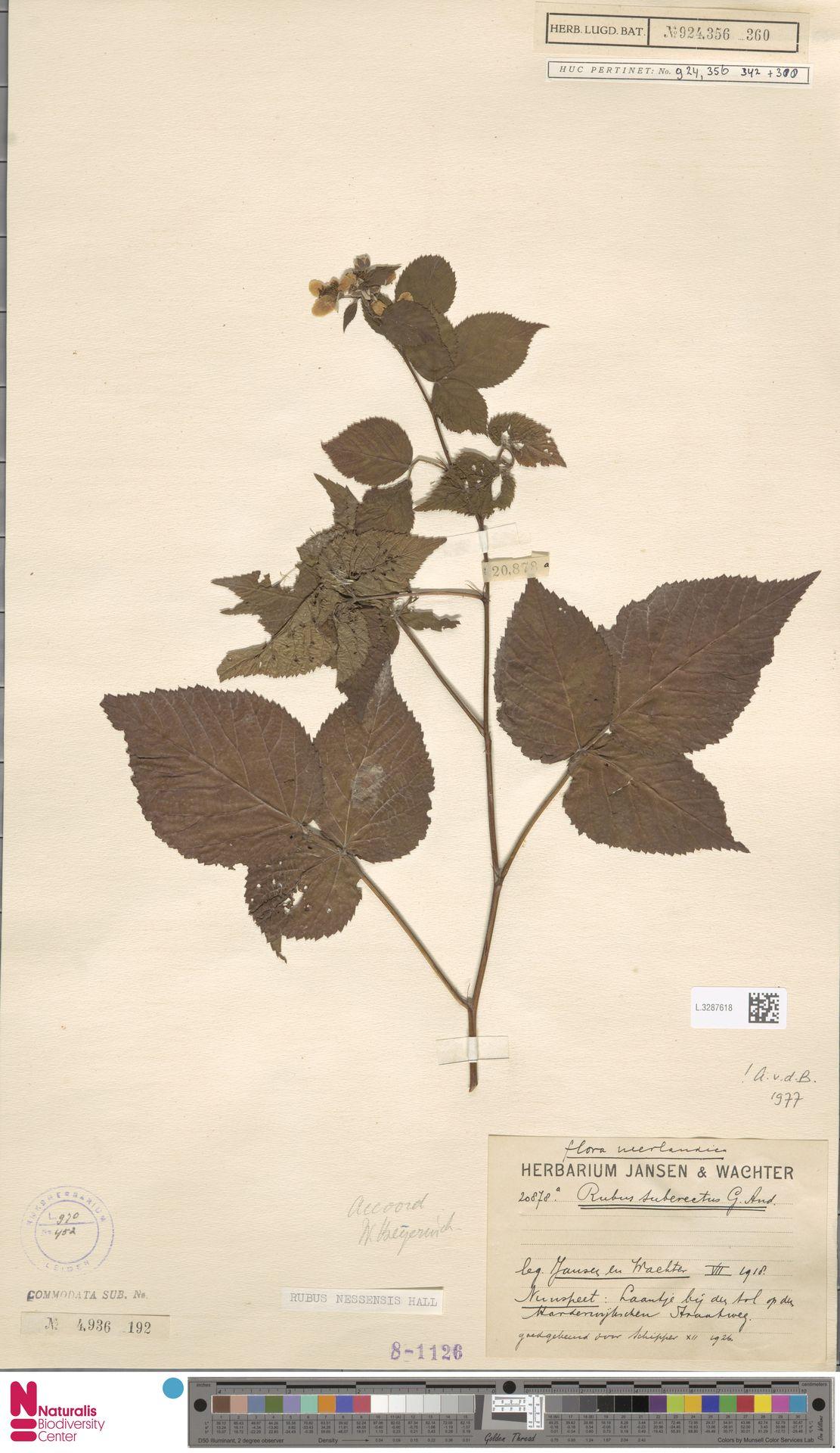 L.3287618 | Rubus nessensis Hall