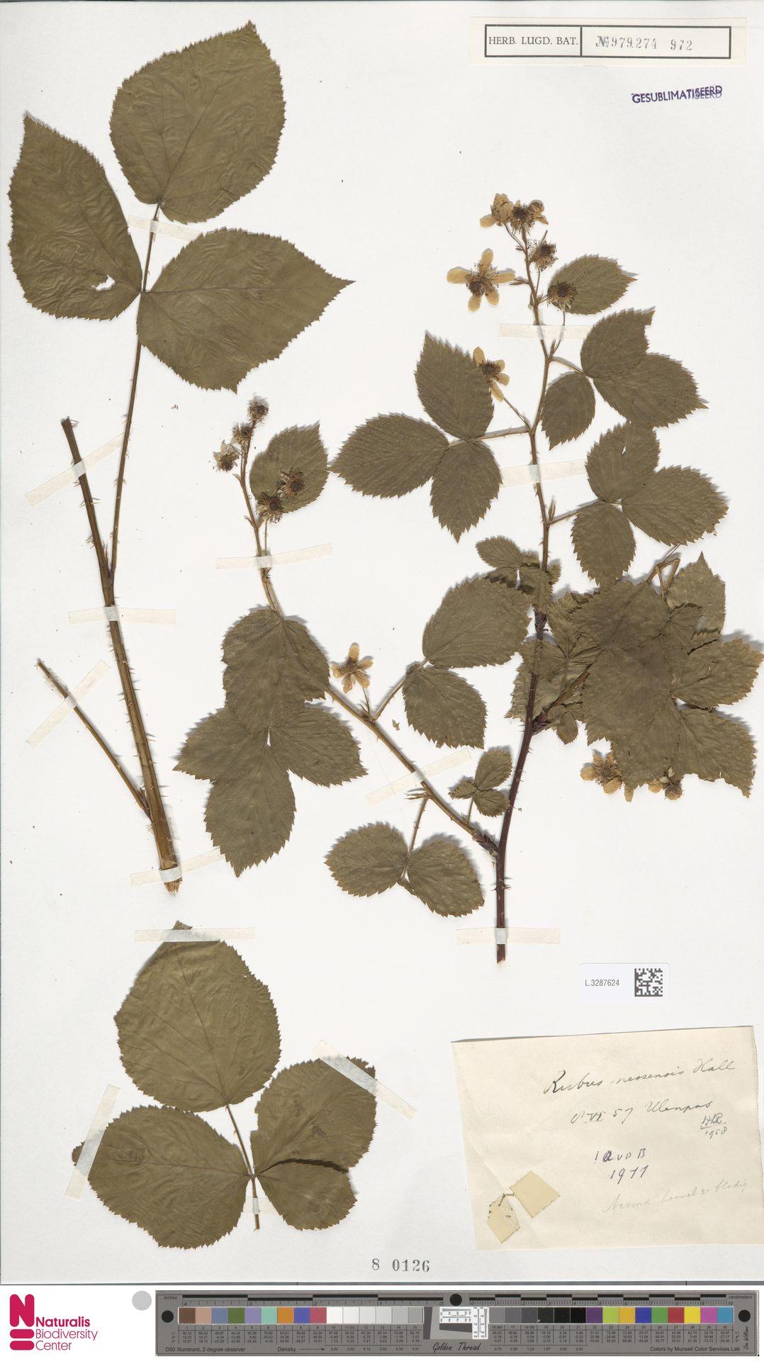 L.3287624   Rubus nessensis Hall
