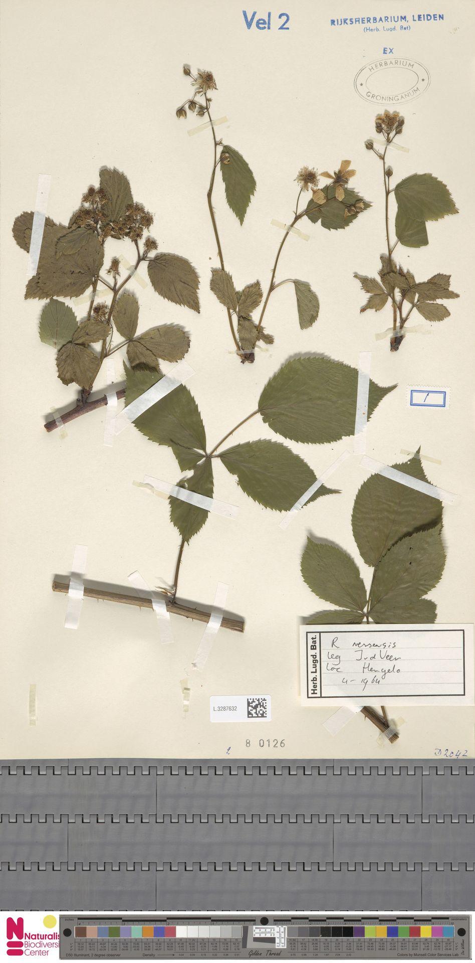 L.3287632 | Rubus nessensis Hall