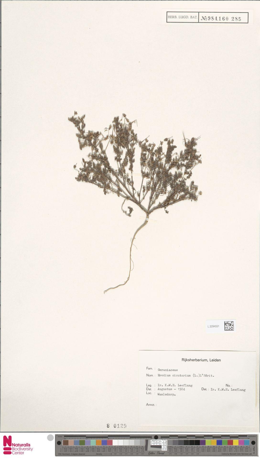 L.3294551 | Erodium cicutarium (L.) L'Hér.