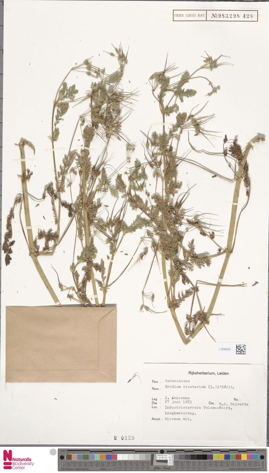 L.3294552 | Erodium cicutarium (L.) L'Hér.