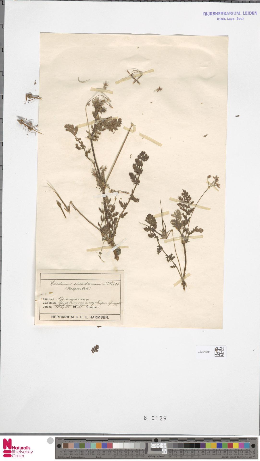 L.3294559 | Erodium cicutarium (L.) L'Hér.