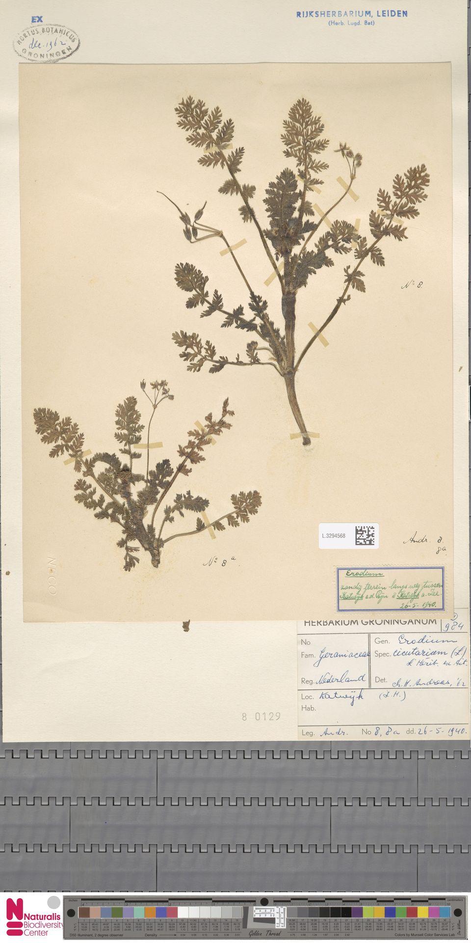 L.3294568 | Erodium cicutarium (L.) L'Hér.