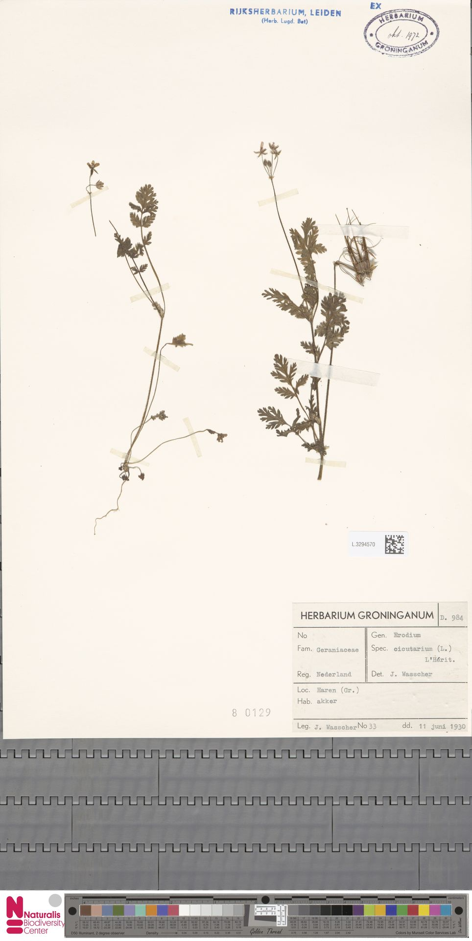 L.3294570 | Erodium cicutarium (L.) L'Hér.