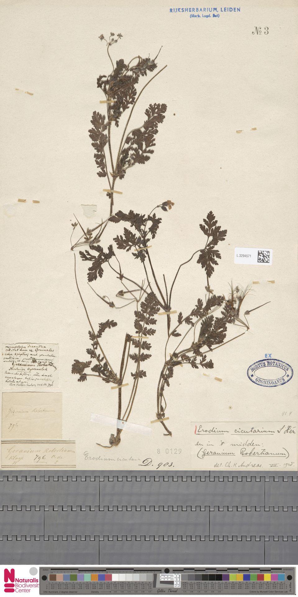 L.3294571 | Erodium cicutarium (L.) L'Hér.
