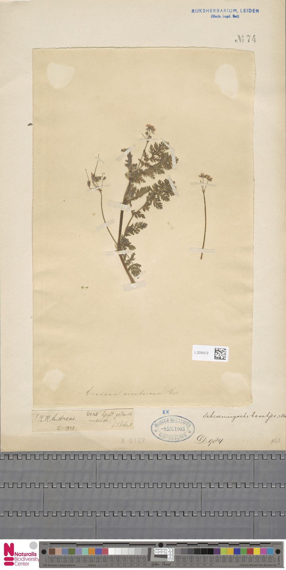 L.3294572 | Erodium cicutarium (L.) L'Hér.