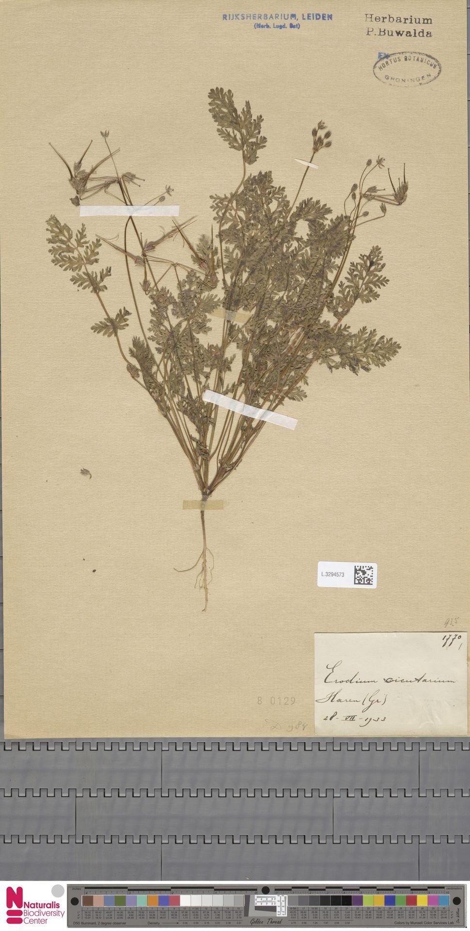 L.3294573 | Erodium cicutarium (L.) L'Hér.
