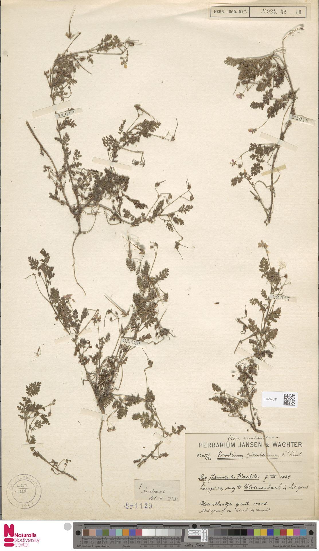 L.3294581 | Erodium cicutarium (L.) L'Hér.