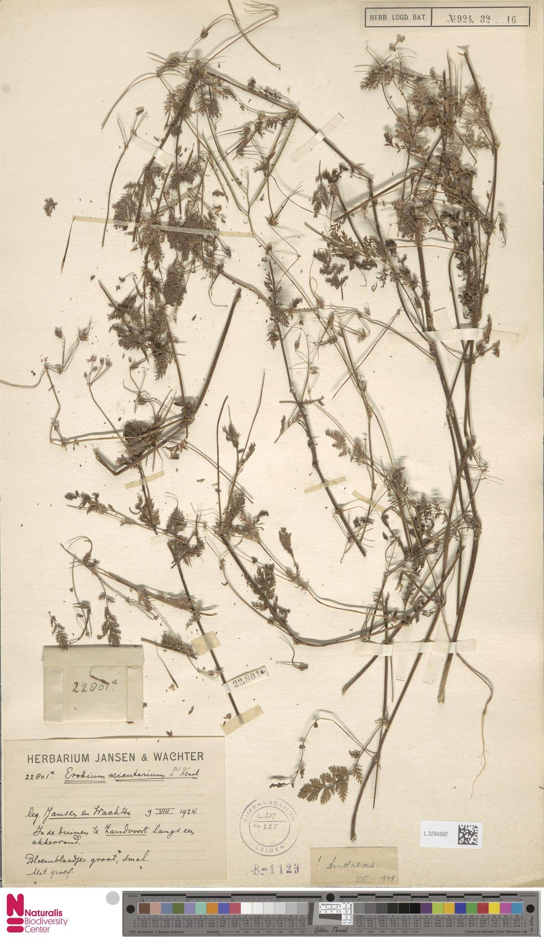 L.3294582 | Erodium cicutarium (L.) L'Hér.