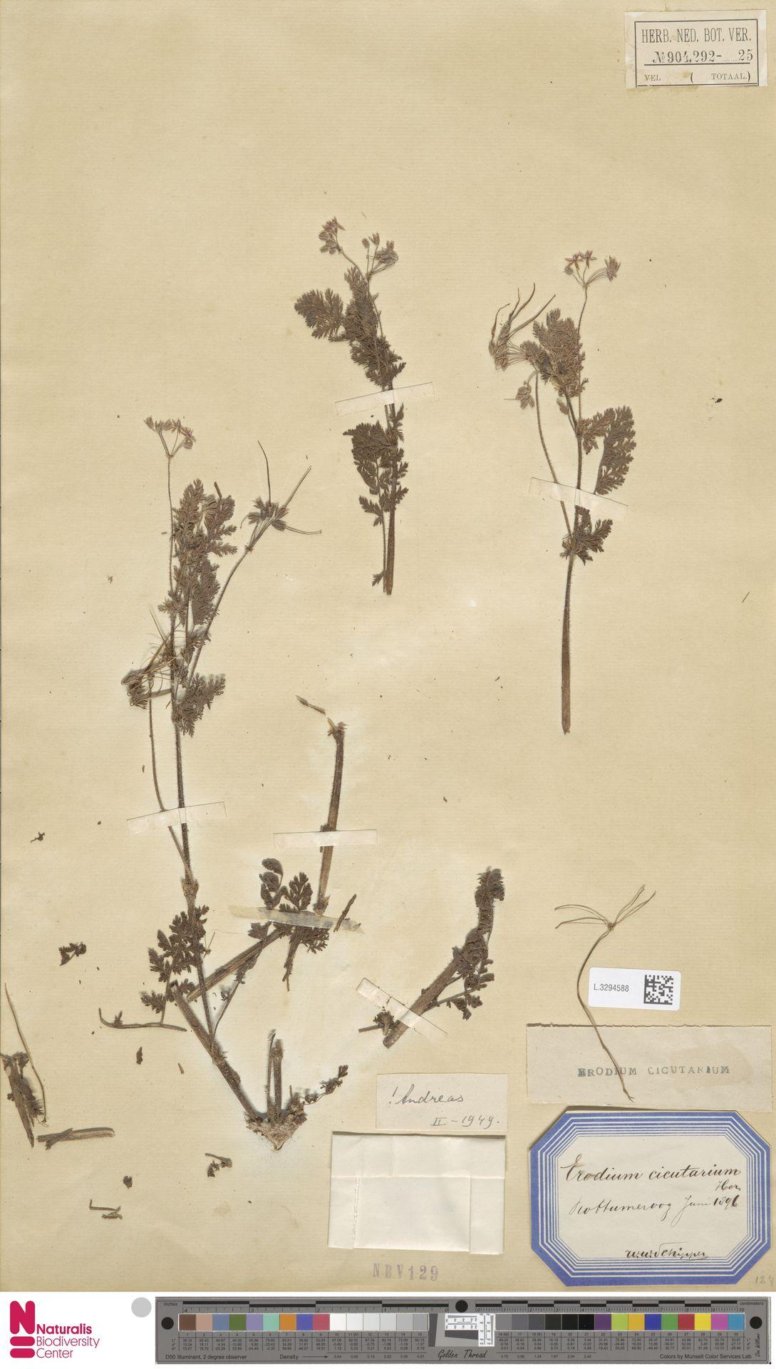 L.3294588 | Erodium cicutarium (L.) L'Hér.