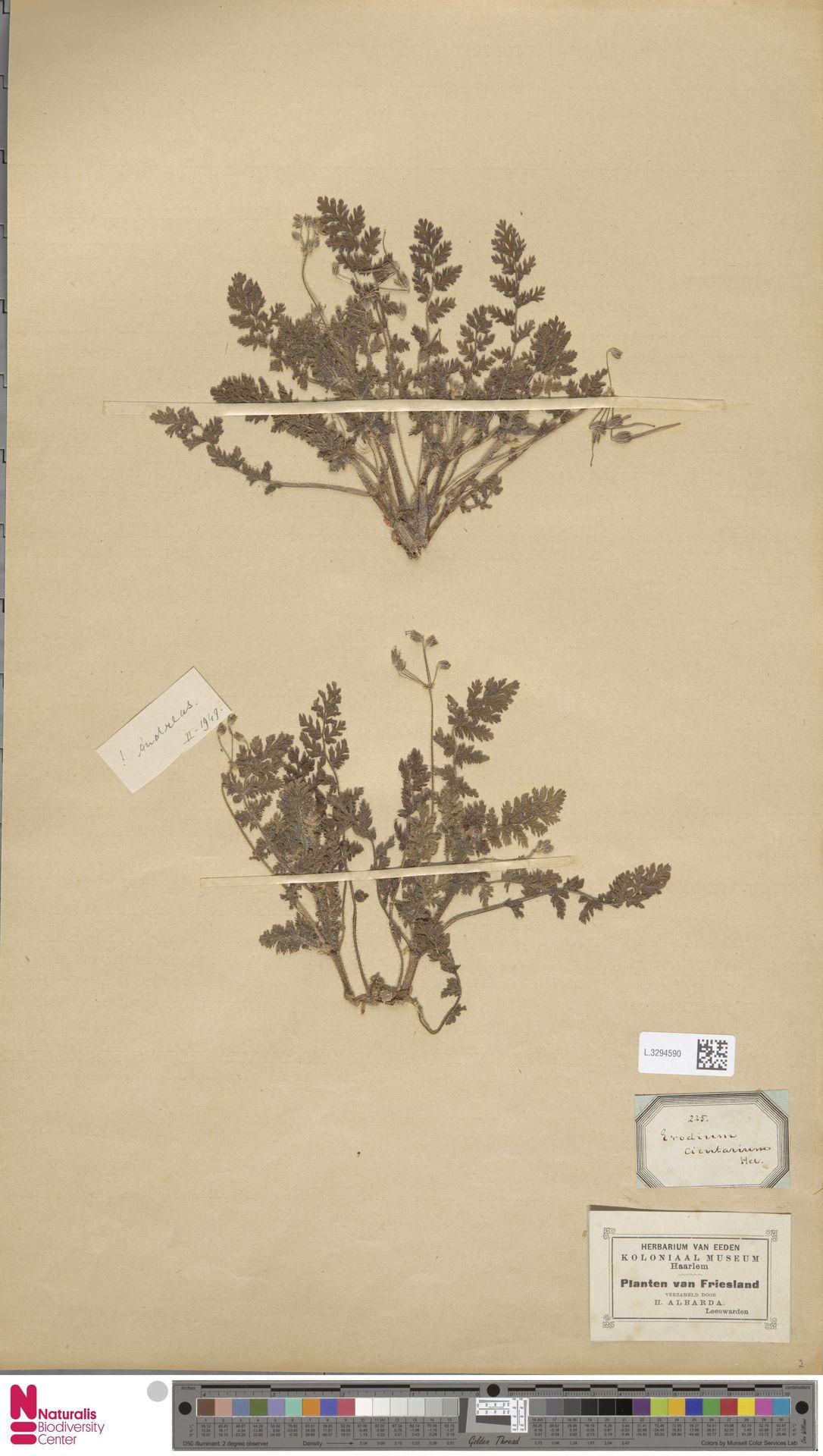 L.3294590 | Erodium cicutarium (L.) L'Hér.