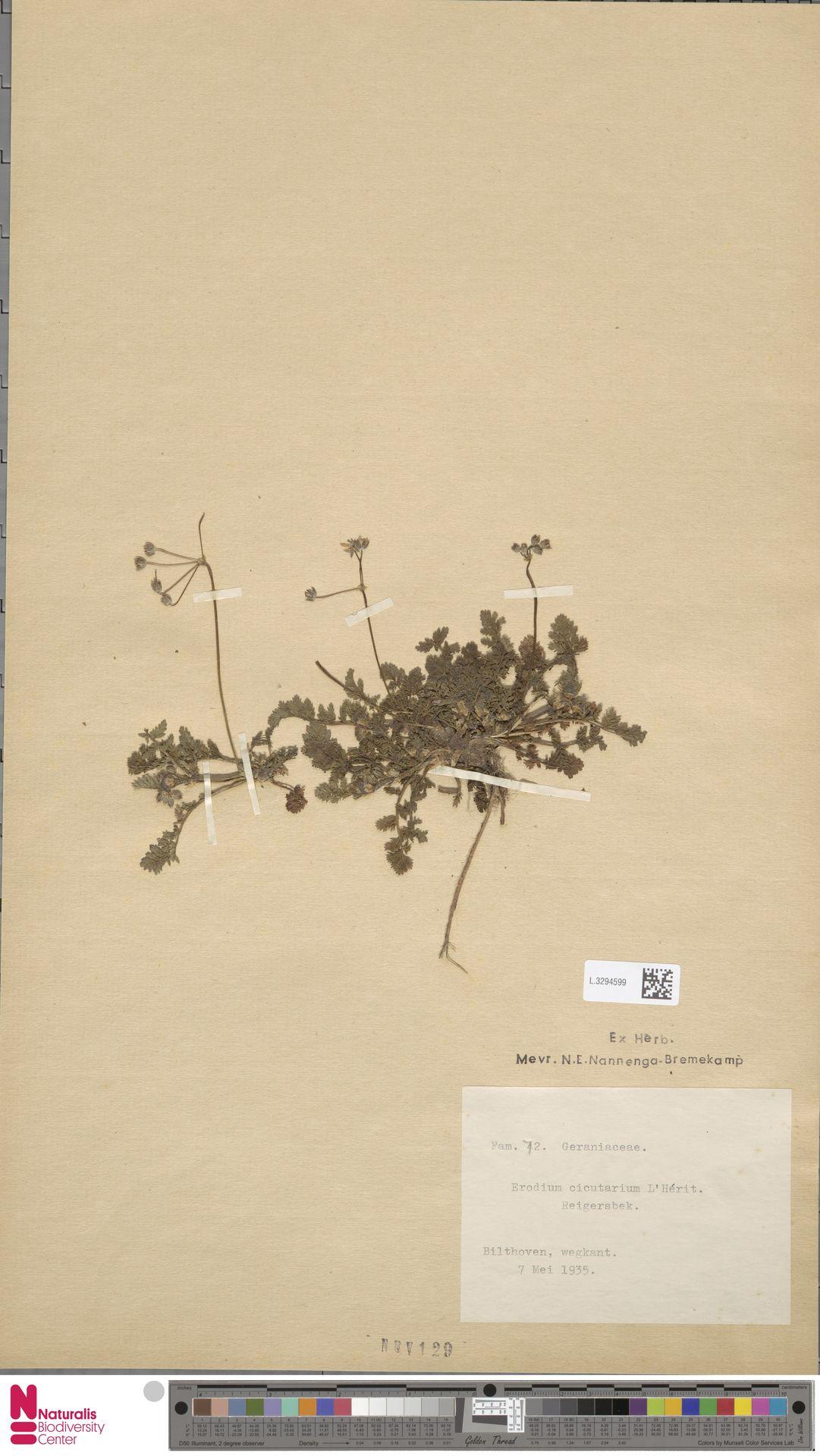 L.3294599 | Erodium cicutarium (L.) L'Hér.