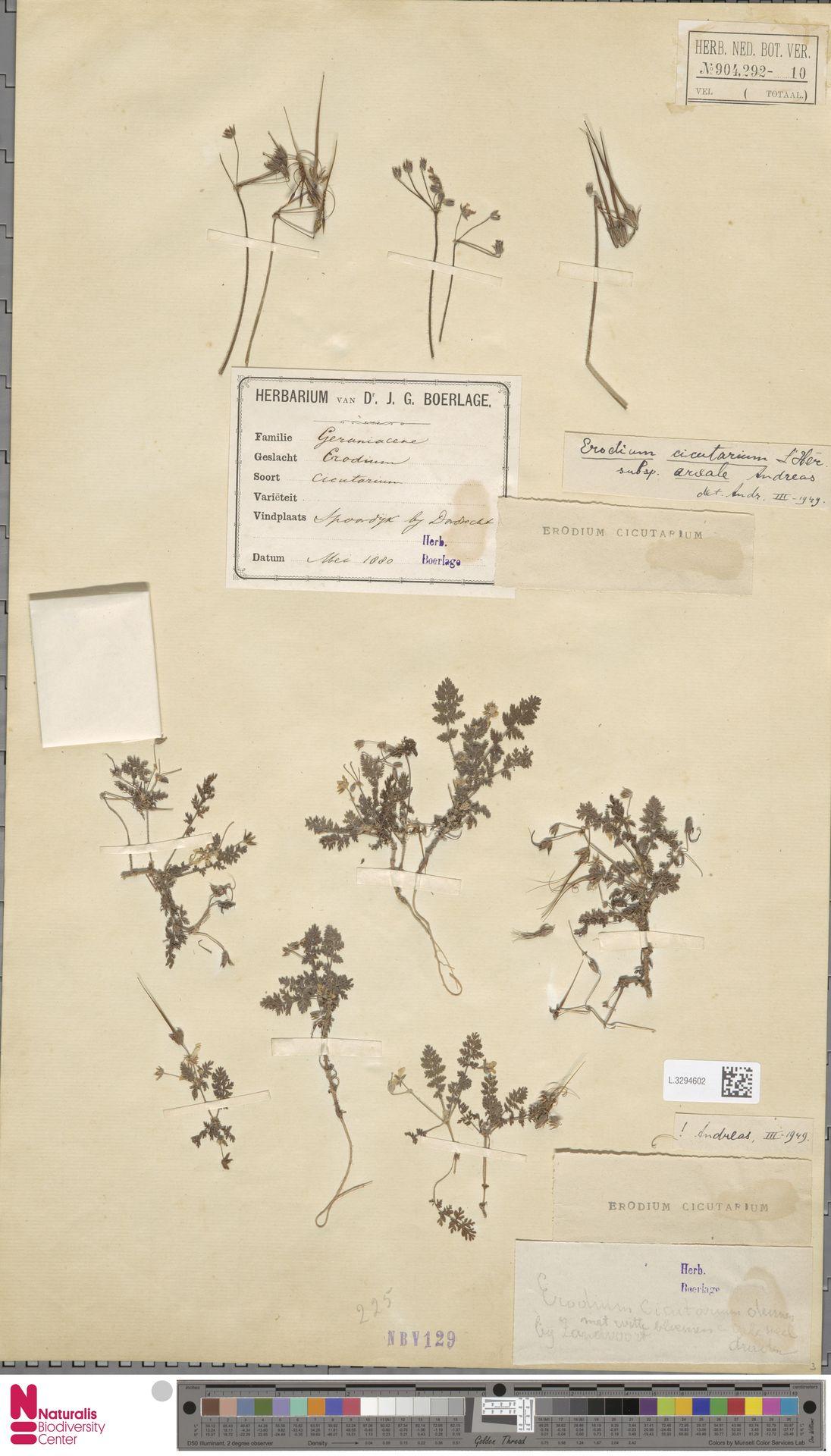 L.3294602 | Erodium cicutarium (L.) L'Hér.