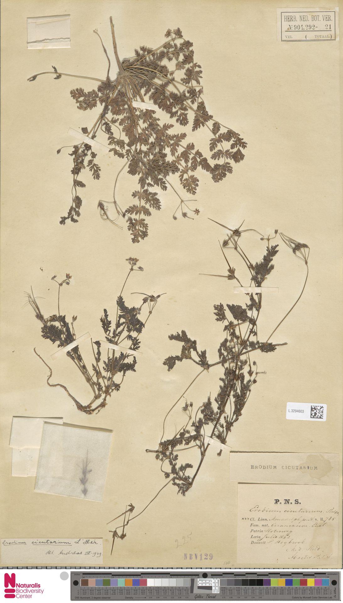 L.3294603 | Erodium cicutarium (L.) L'Hér.