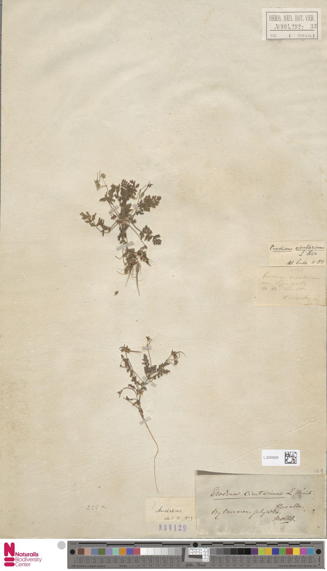 L.3294609   Erodium cicutarium (L.) L'Hér.